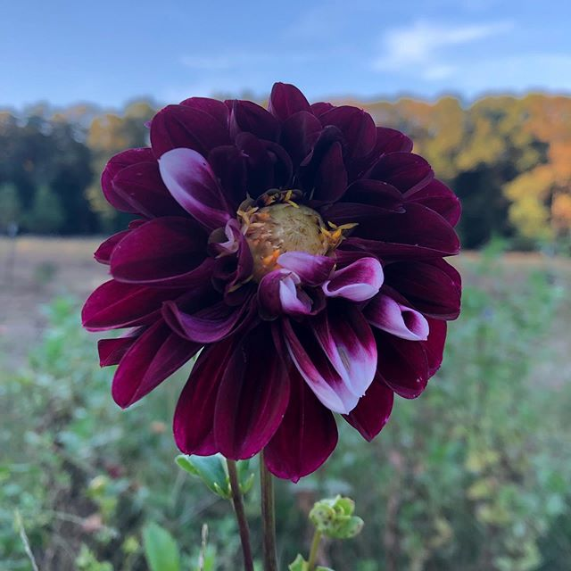 I just love what is happening to you right now.  #farmerflorist #rightfieldfarm #marylandgrownflowers #slowflowers #goldenhour #dahlia