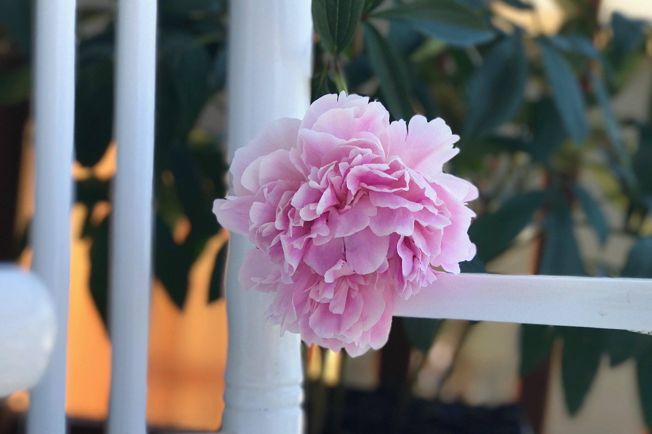 Peonies and Cream - June Favorites 2017 Peony Blossom