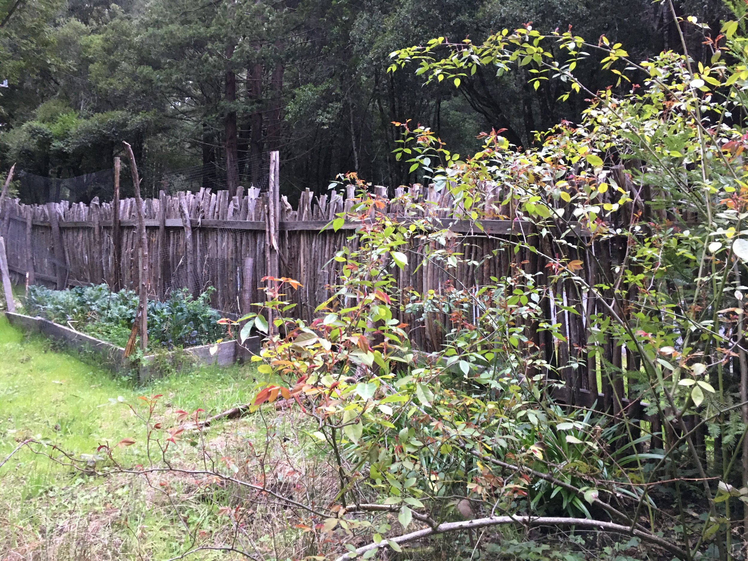 Kale patch and Climbing Rose