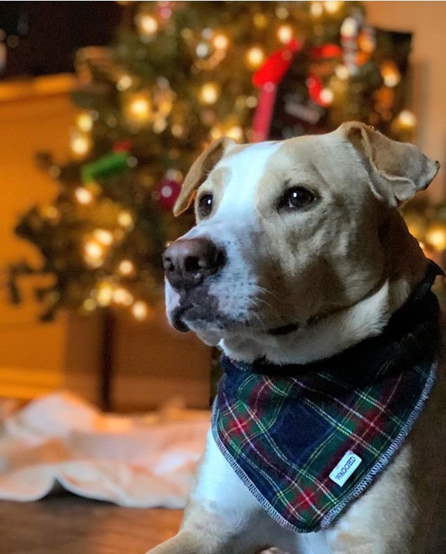 Happy Howlidays 🎅🏼🎄🐶✨ Take 25% off your order with promo code HOLIDAYS. Model: @kevin.pitlab  Bandana: Noel . . . . . #cute #weeklyfluff #dogsofinstagram #dogscorner #instadog #dog #doglover #dogs_of_instagram #instagramdogs #puppy #dogoftheday #instapuppy #dogstagram #lovedogs #lovepuppies #puppies #adoptdontshop #photooftheday #photo #photography #christmas #xmas #winter #pitbull #labrador #labradors #labsofinstagram #labradorsofinstagram