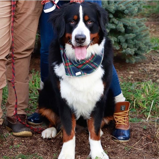Tongue Out Tuesday: Holiday Edition 🎄 Take 25% off your order with promo code HOLIDAYS. Model: @basil.the.berner  Bandana: Noel . . . . . #cute #weeklyfluff #dogsofinstagram #dogscorner #instadog #dog #doglover #dogs_of_instagram #instagramdogs #puppy #dogoftheday #love #happy #cute  #instapuppy #dogstagram #lovedogs #lovepuppies #puppies #adoptdontshop #photooftheday #photo #photography #christmas #xmas #winter #saintbernard #saintbernards #saintbernardsofinstagram