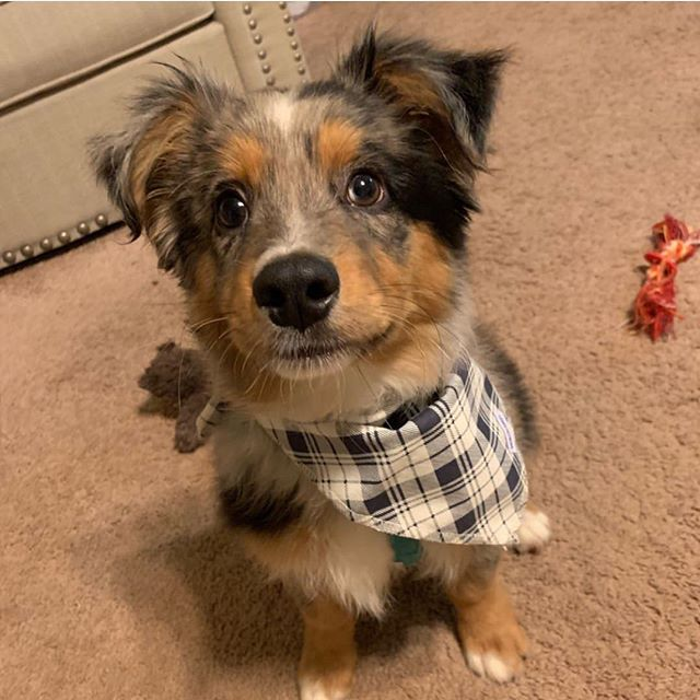 Cheeeeeeeese 😁 Model: @canton_miniaussie Bandana: Duke . . . . . #cute #weeklyfluff #dogsofinstagram #dogscorner #instadog #dog #doglover #dogs_of_instagram #instagramdogs #puppy #dogoftheday #love #happy #cute  #instapuppy #dogstagram #lovedogs #lovepuppies #puppies #adoptdontshop #photooftheday #photo #photography #miniaussie #australianshepherd #aussiesofig #australianshepherds #aussiesofinstagram