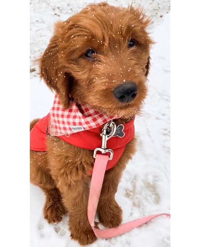 Best in Snow 🏅 Model: @emi.thedoodle  Bandana: Chester . . . . . #cute #weeklyfluff #dogsofinstagram #dogscorner #instadog #dog #doglover #dogs_of_instagram #instagramdogs #puppy #dogoftheday #love #happy #snow  #instapuppy #dogstagram #lovedogs #lovepuppies #puppies #adoptdontshop #photooftheday #photo #photography #goldendoodle #goldendoodles #goldendoodlesofig #goldendoodlesofinstagram #goldensofig #goldensofinstagram