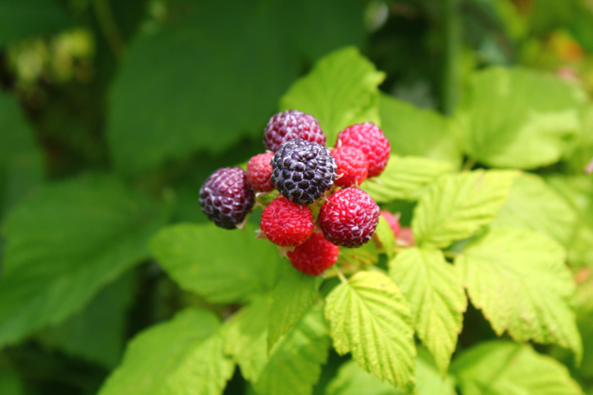 the raspberies were not quite ready to be picked just yet