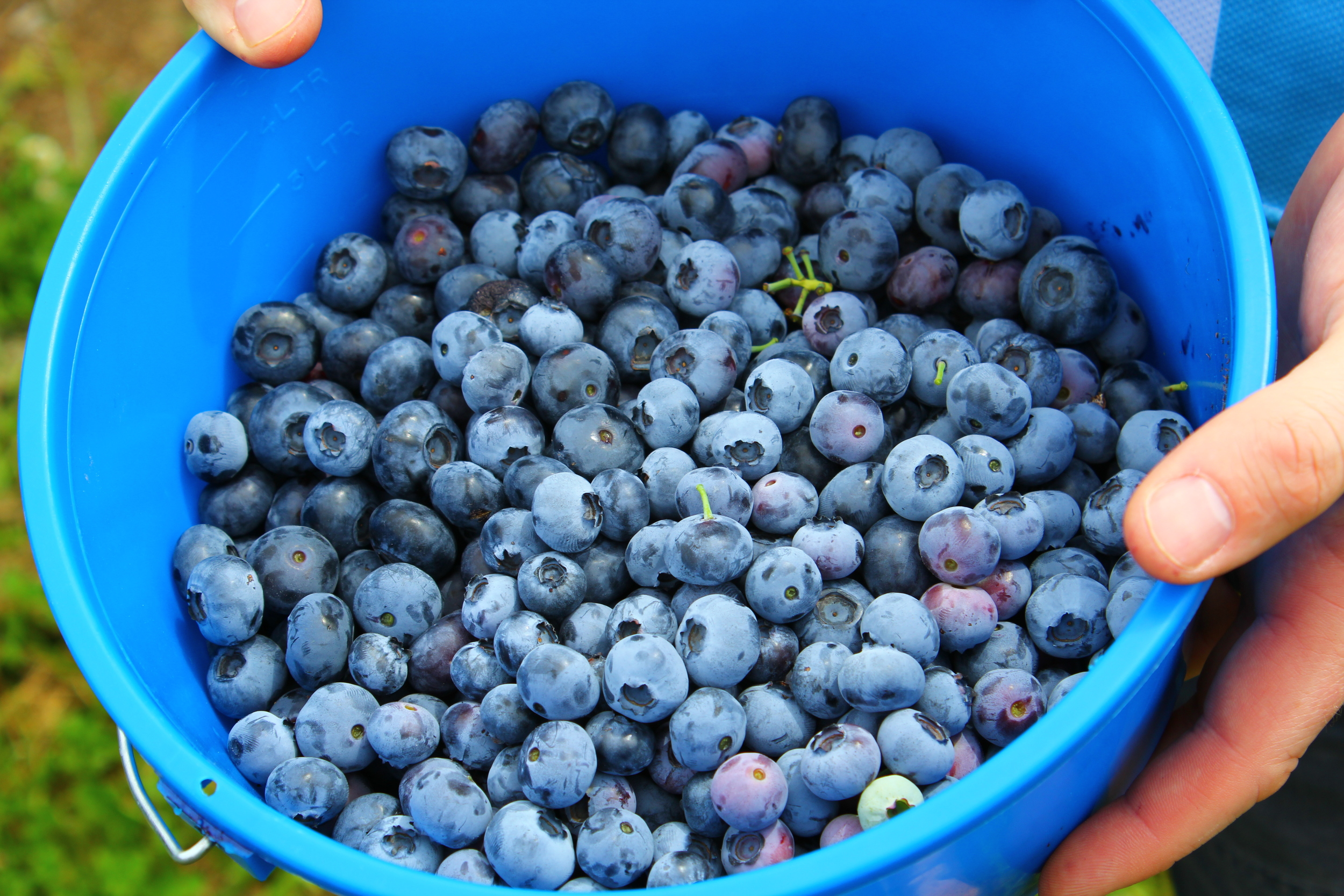 pounds and pounds of blueberries