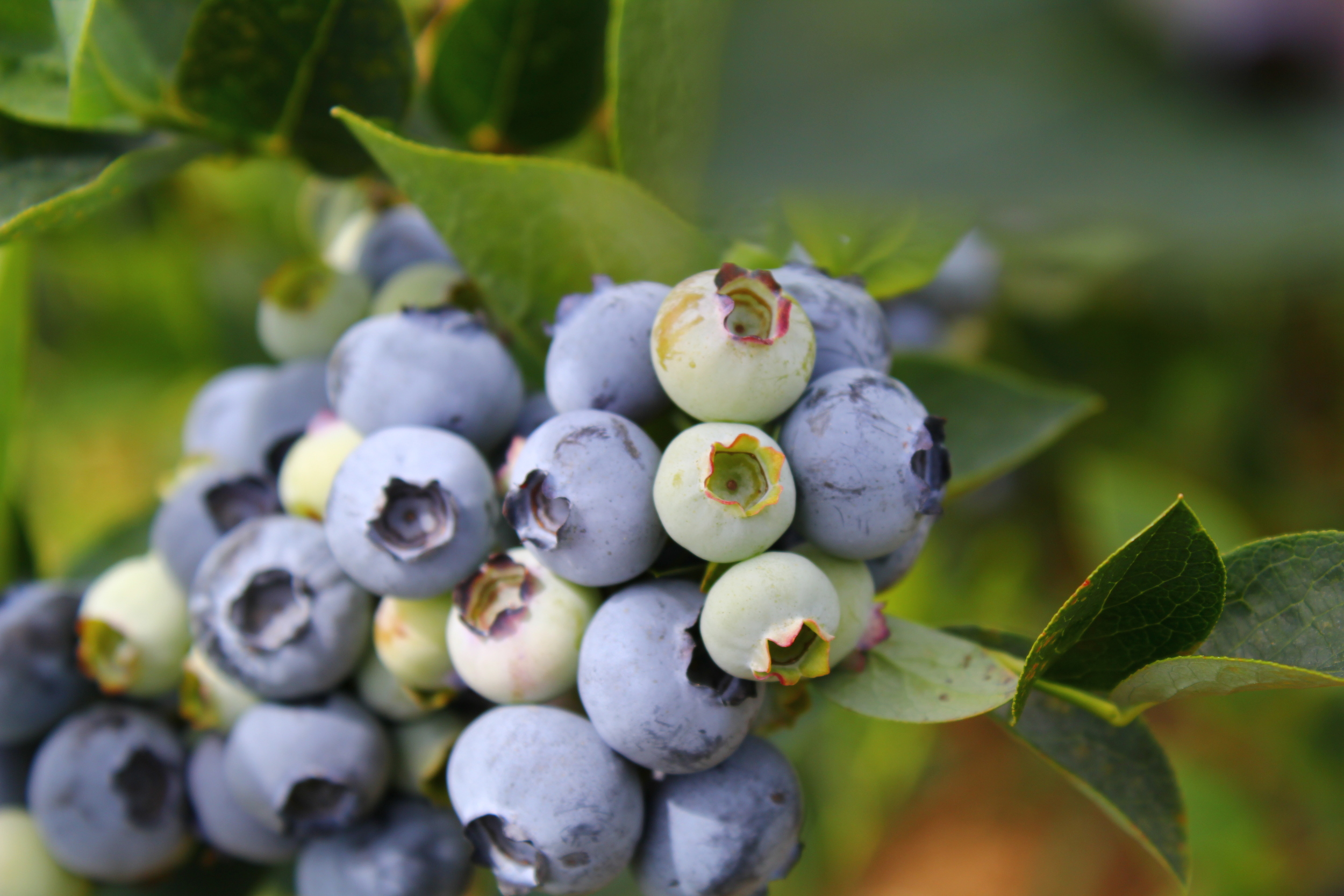 fattest blueberries my eyes have ever seen