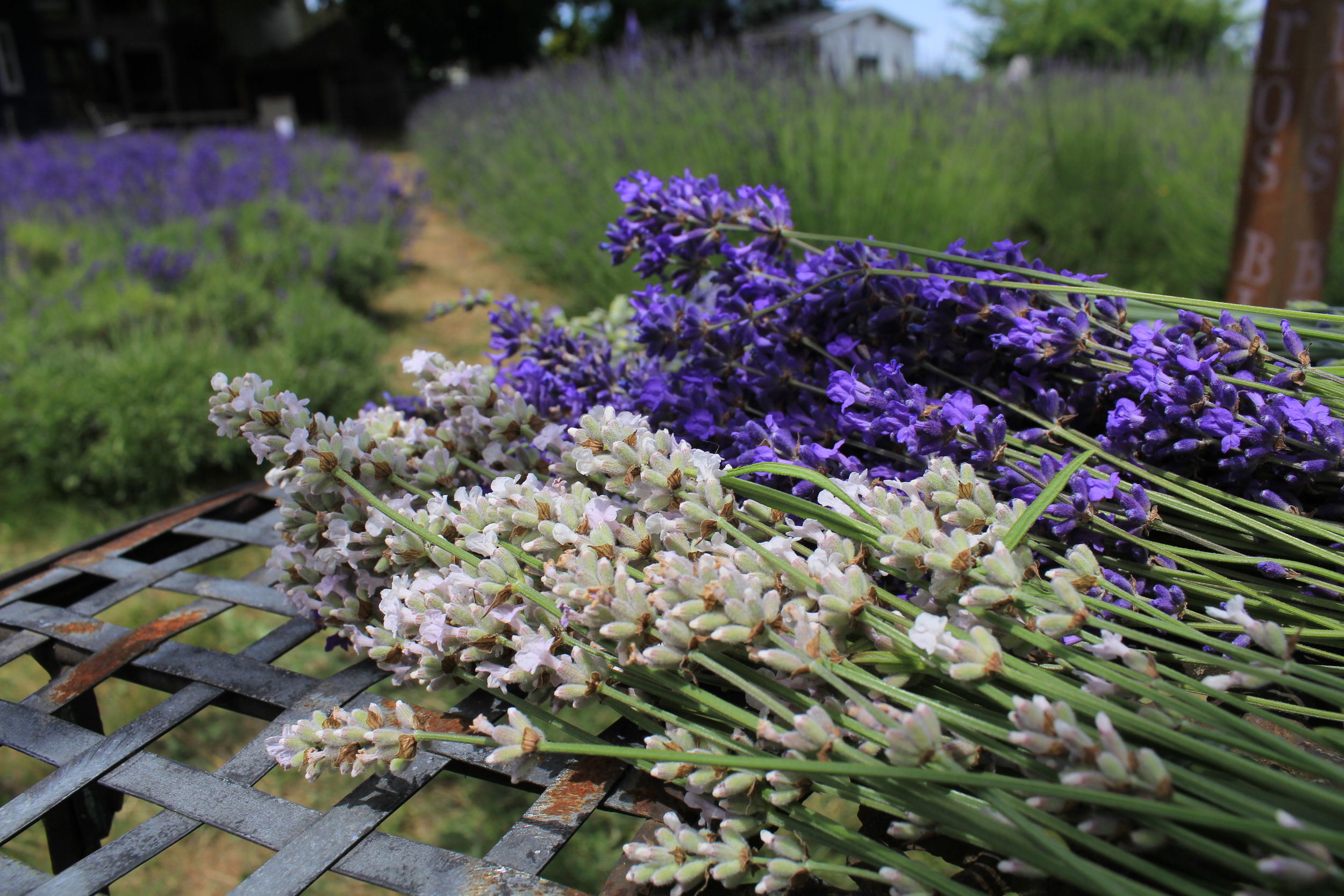 06-22 Lavender (18).JPG