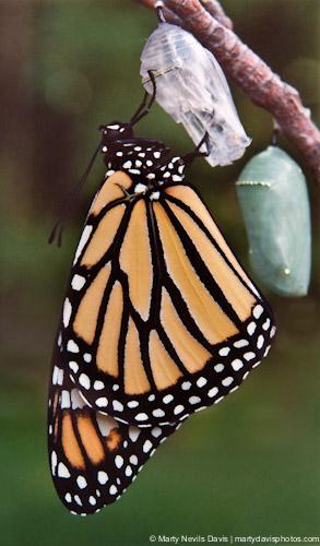 Newly_enclosed_monarch_(c)marty.n.davis