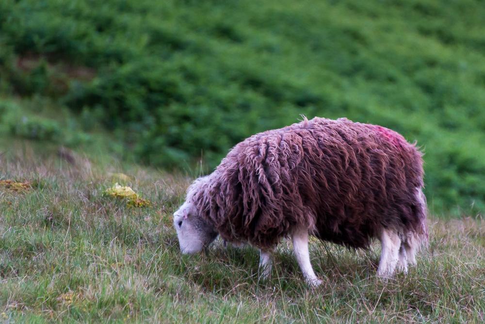 furry brown sheep-8022.jpg
