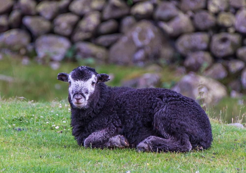 Black lamb_Lake District-8019.jpg