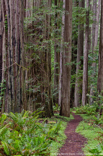redwoods-5331.jpg