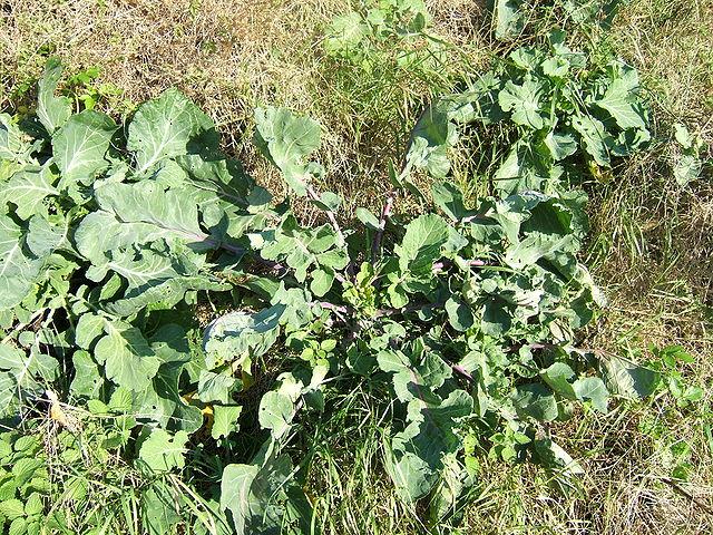 Brassica oleracea.....also known as wild cabbage