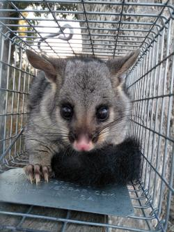 Reannan's research will investigate whether artificial hollows can provide an alternative option to nest boxes for animals, like this possum. Image courtesy of Reannan Honey.