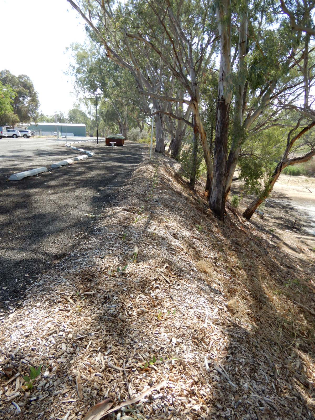The riverbank area behind the new car park where weeds have been controlled and revegetation works undertaken