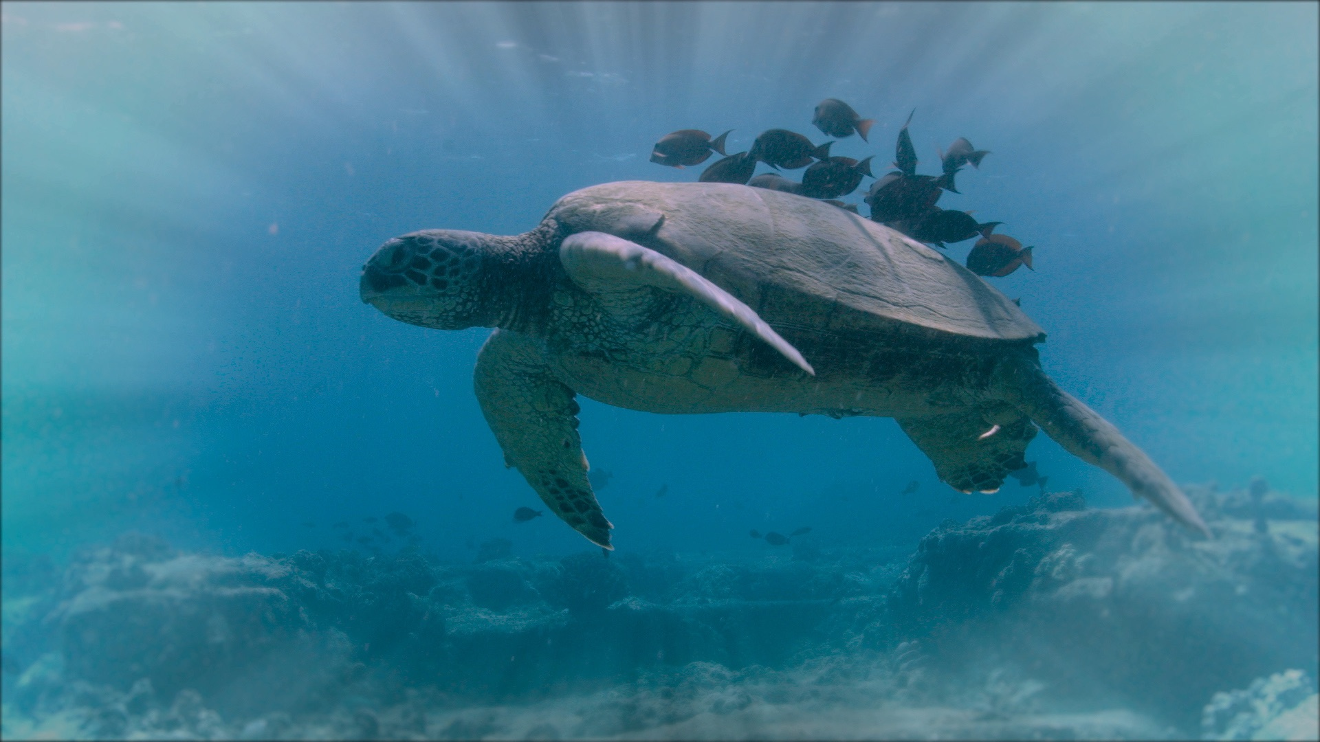 My Haggan Dream - A turtle swims while fish clean its shell. Photo by Sisbro Studios