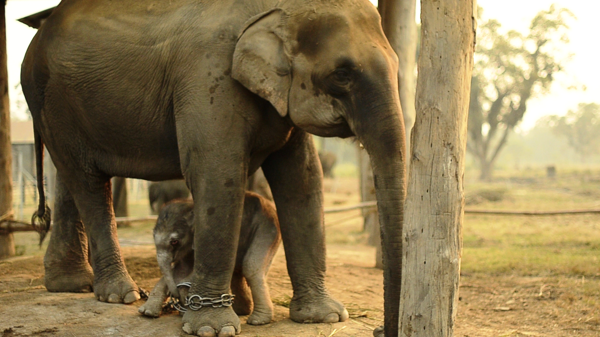 Unchained - One day old baby elephant, trying to take the chains off her Mother. Breeding Center, Sauraha, Nepal. Still by Leticia Ruiz