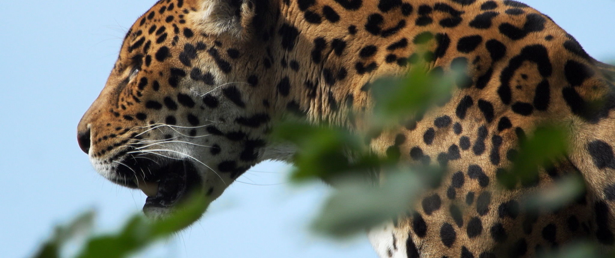 The jaguar is the largest, most powerful cat in the Americas. Jaguars used to be found as far north as the Southwest of the US, but hunting and habitat loss have shrunken their populations extensively. The jaguars in Sonora, Mexico are now the last hope for them returning to their historic northern range.