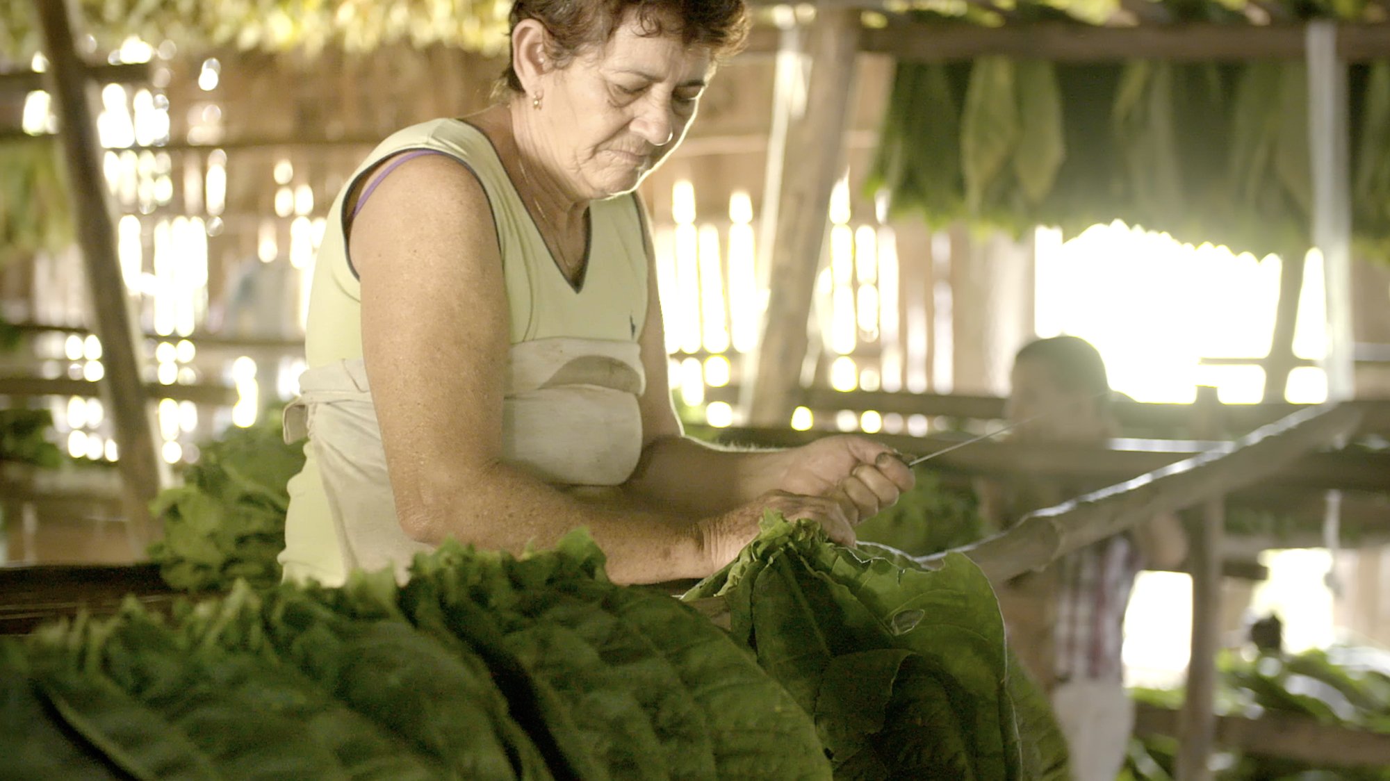 Tobacco leave being threaded so that they can be hung up to ferment.