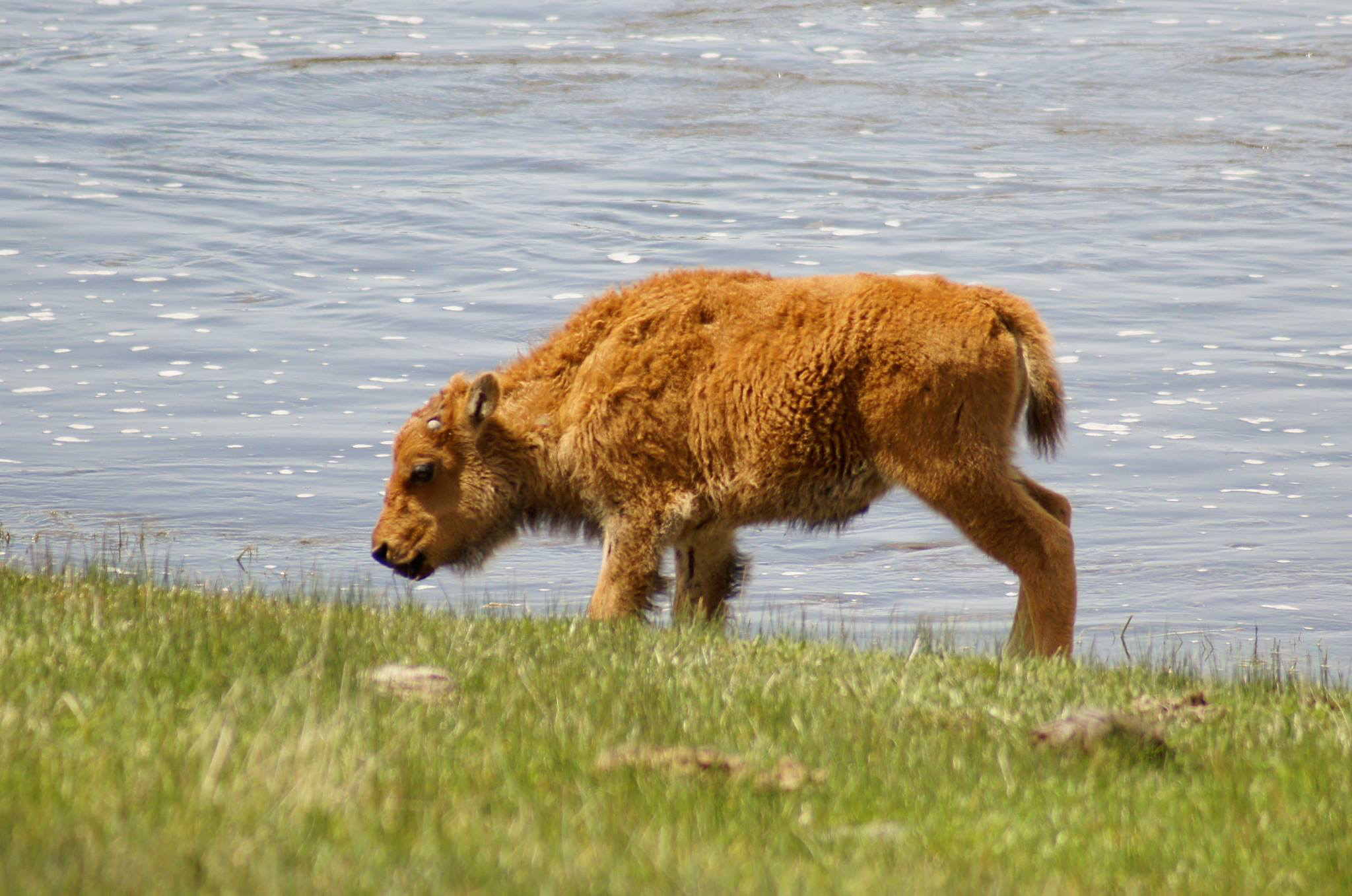 Bison calf and water.jpg