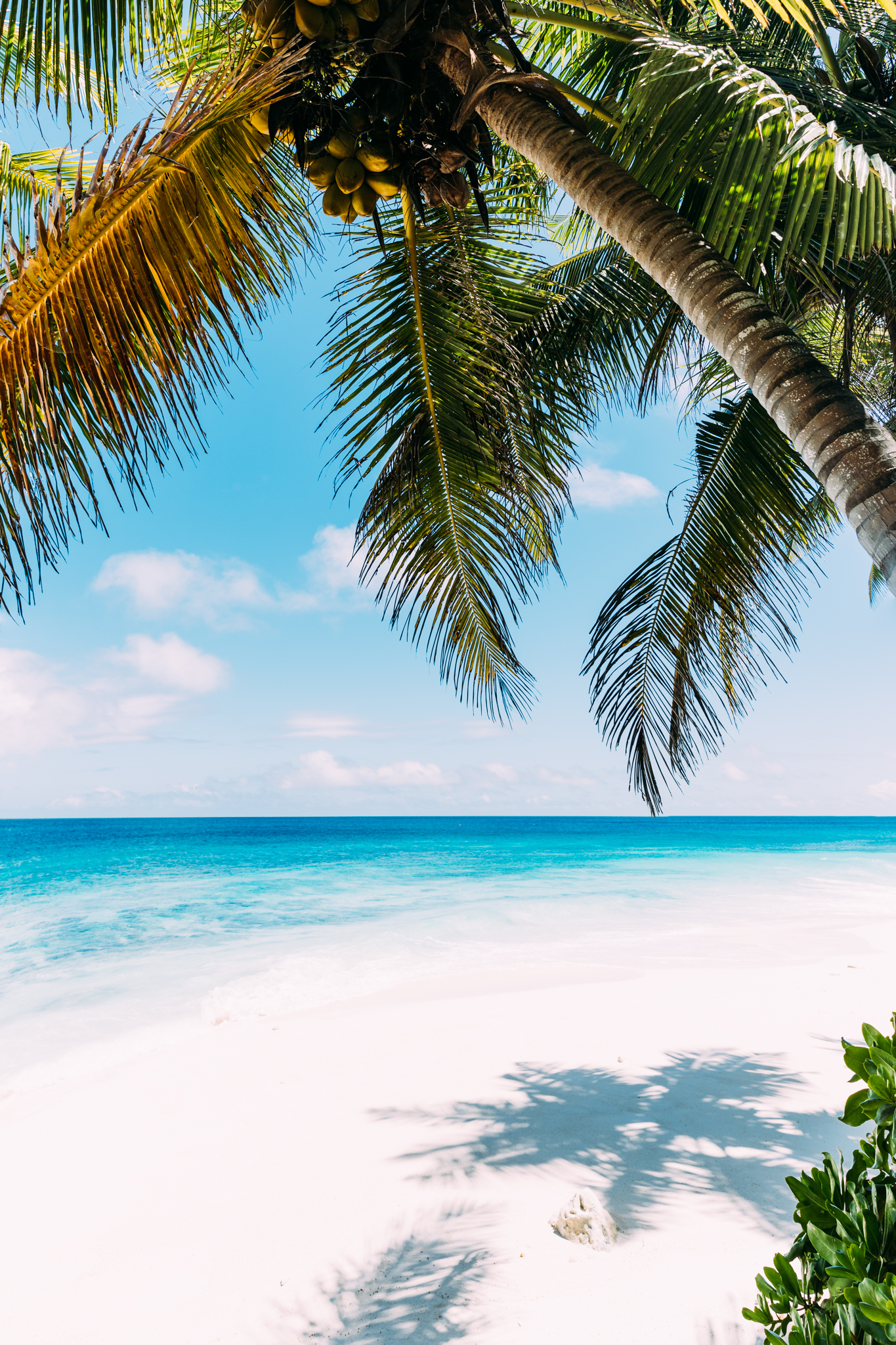 An idyllic scene of a coconut tree on the untouched private beaches of North Island in Seychelles
