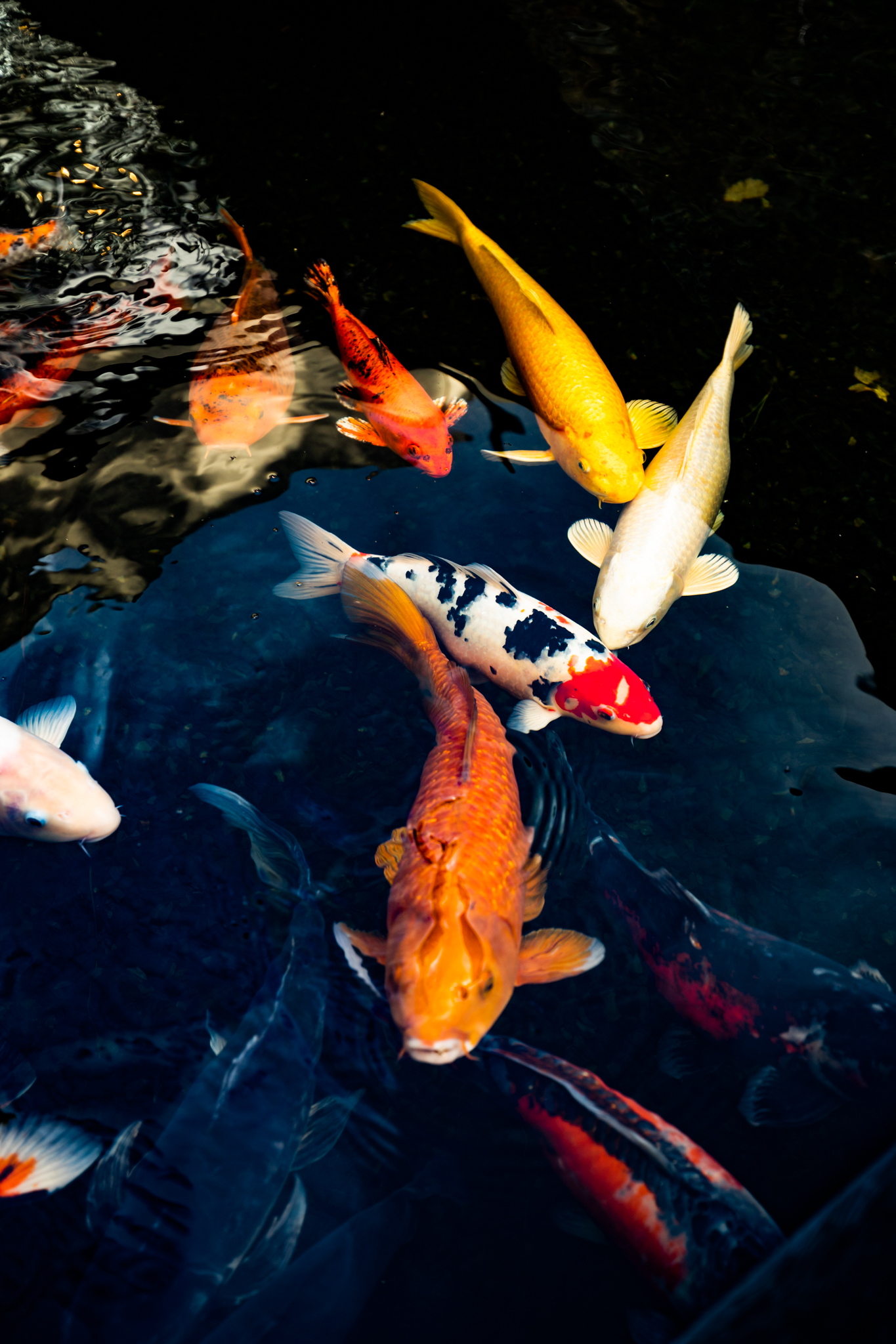 Colourful Koi swimming in the ponds at the entrance to the Delaire Graff Spa