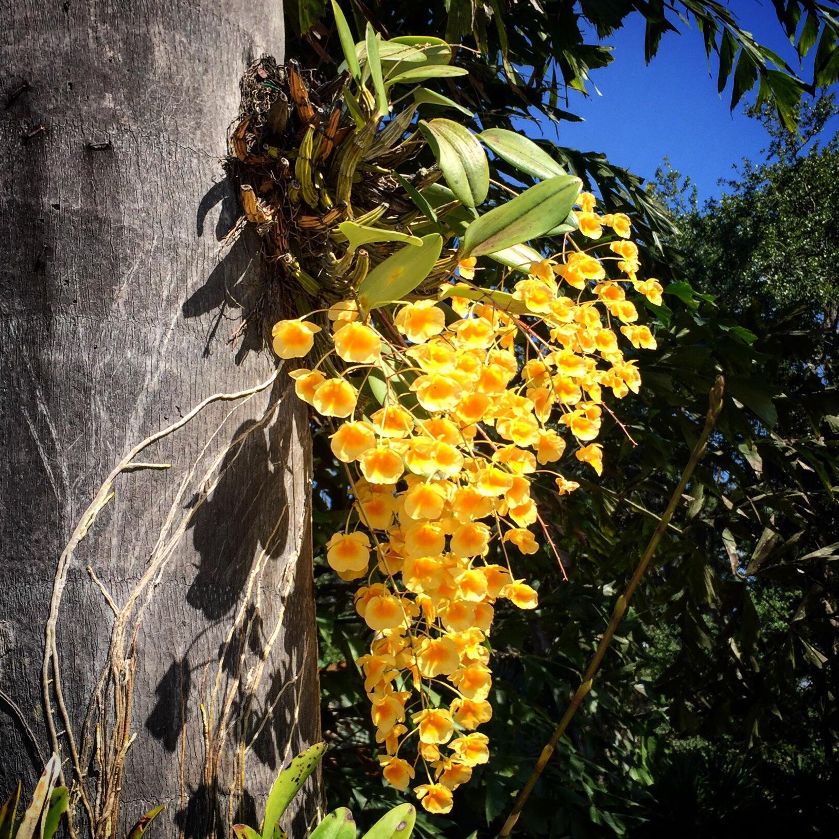 dendrobium aggregatum lindleyi orchid species.jpg