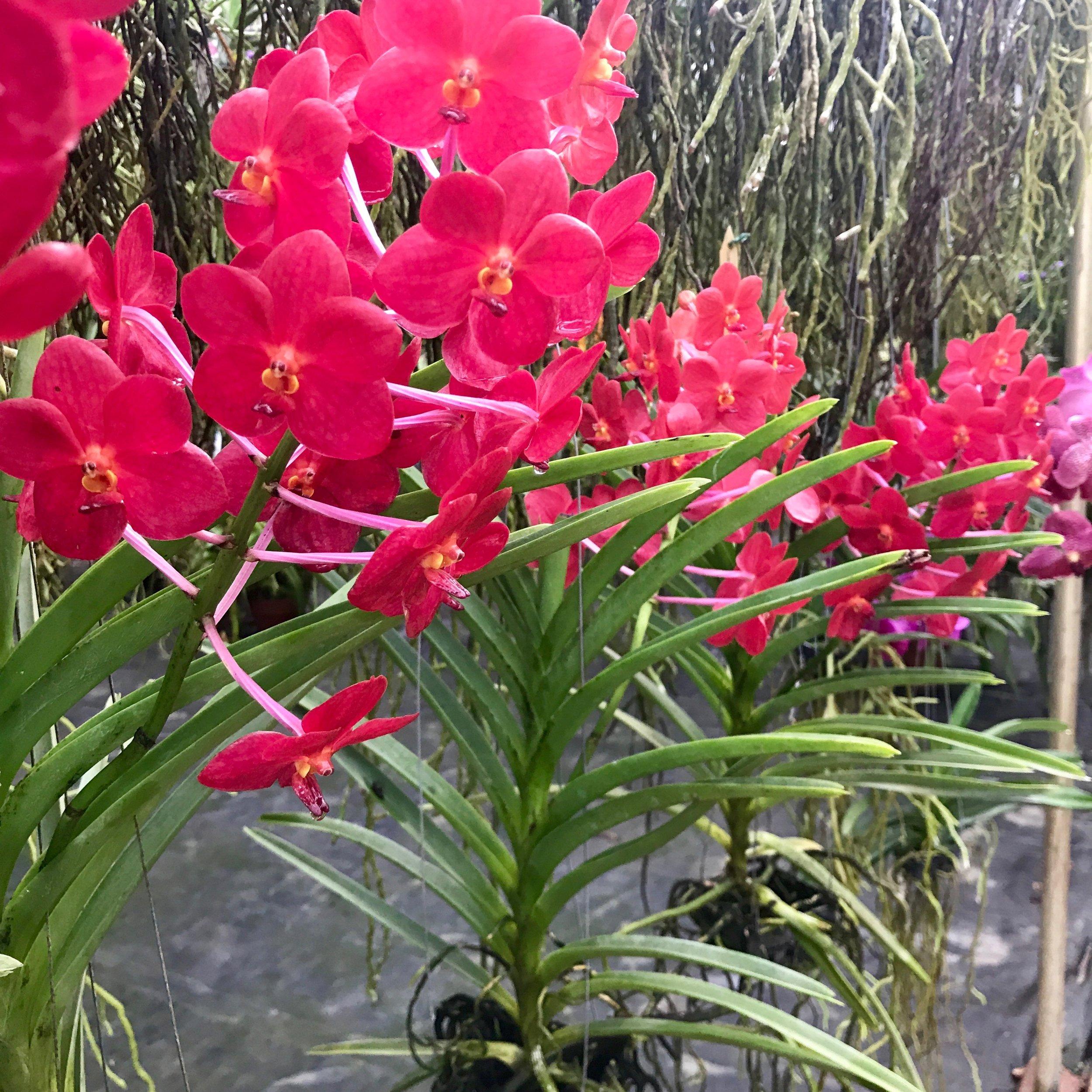 Vanda Ascda Ashley Lowe Palmer Orchids.jpg