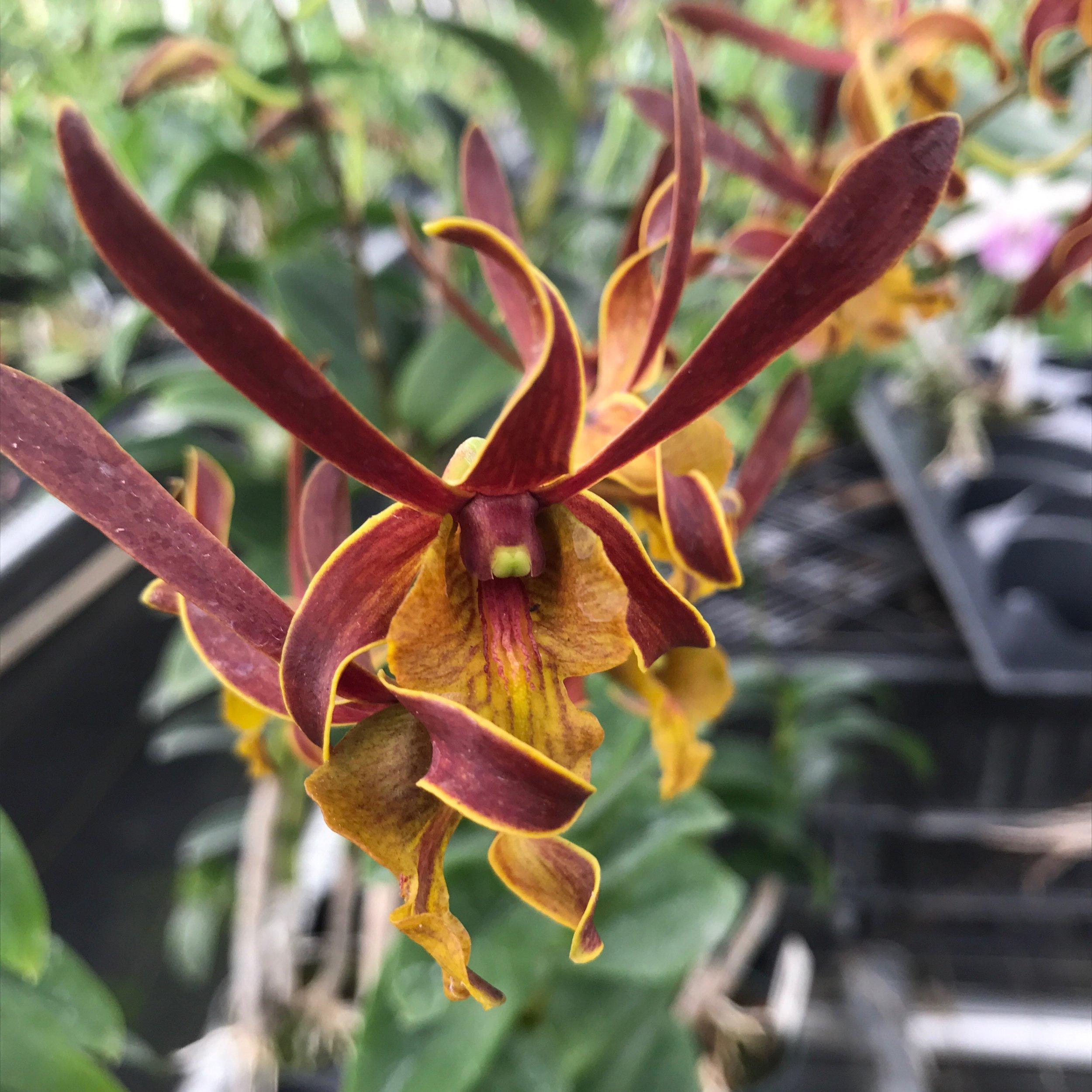 Dendrobium burana horny orchid.jpg