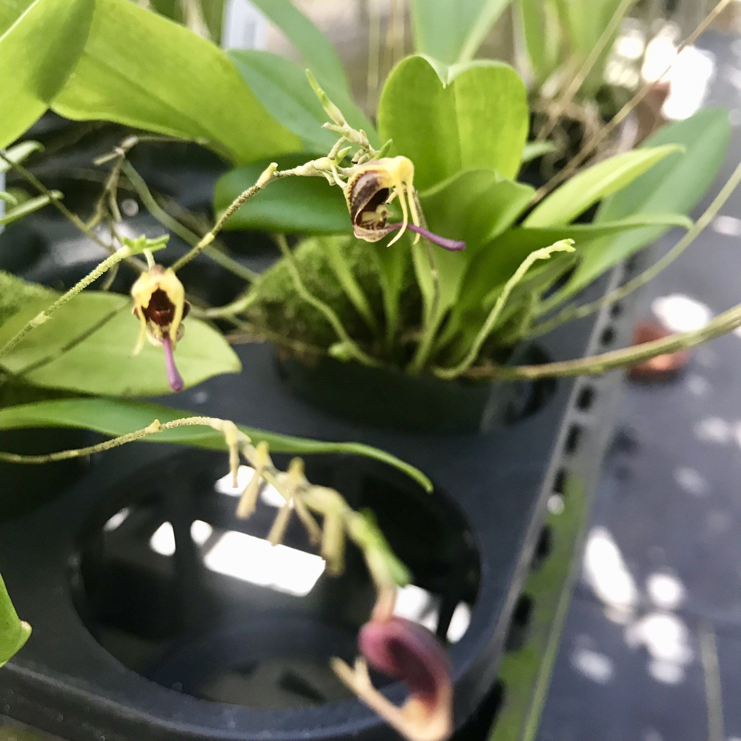 minature orchid species.jpg