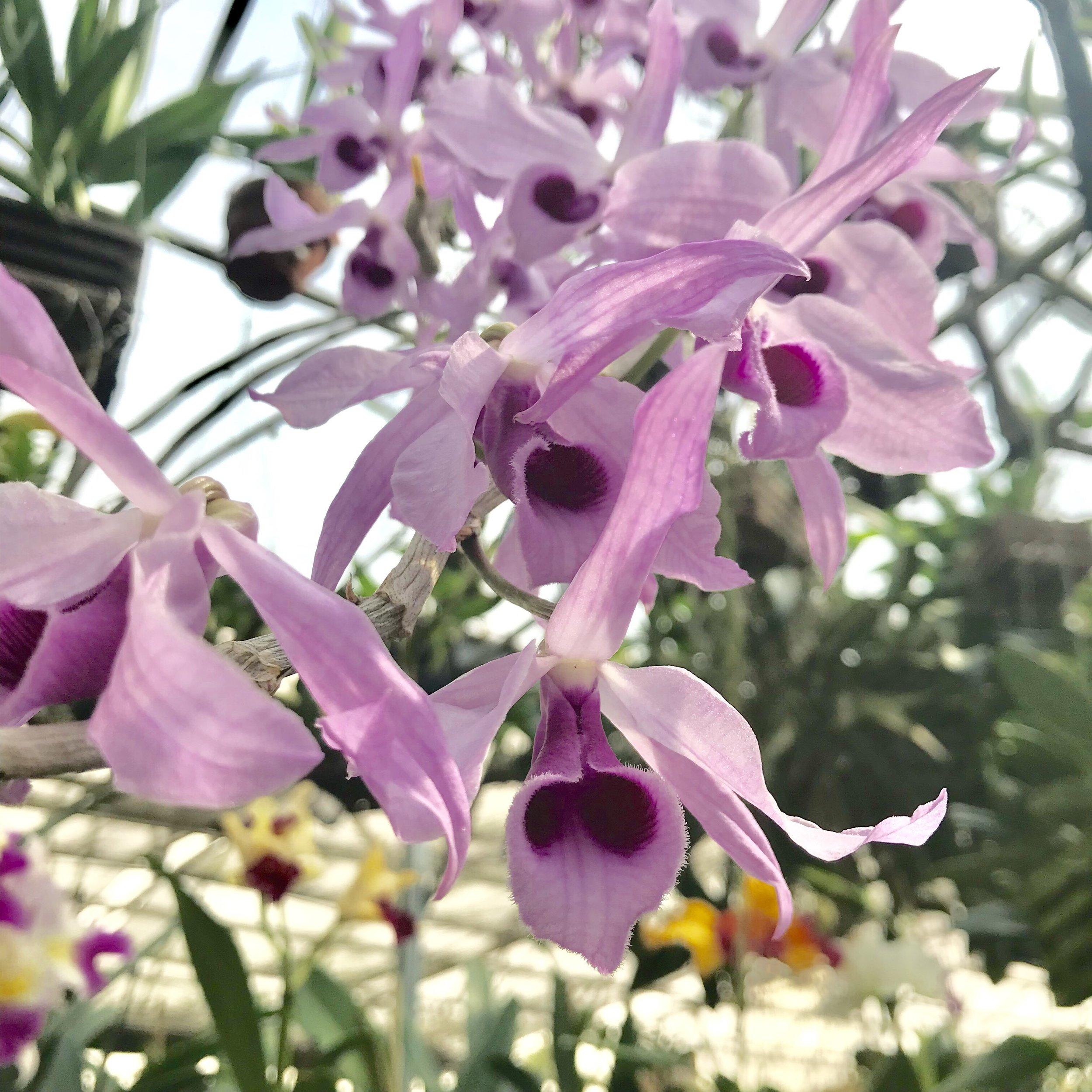 purple pendulous fragrant dendrobium species.jpg