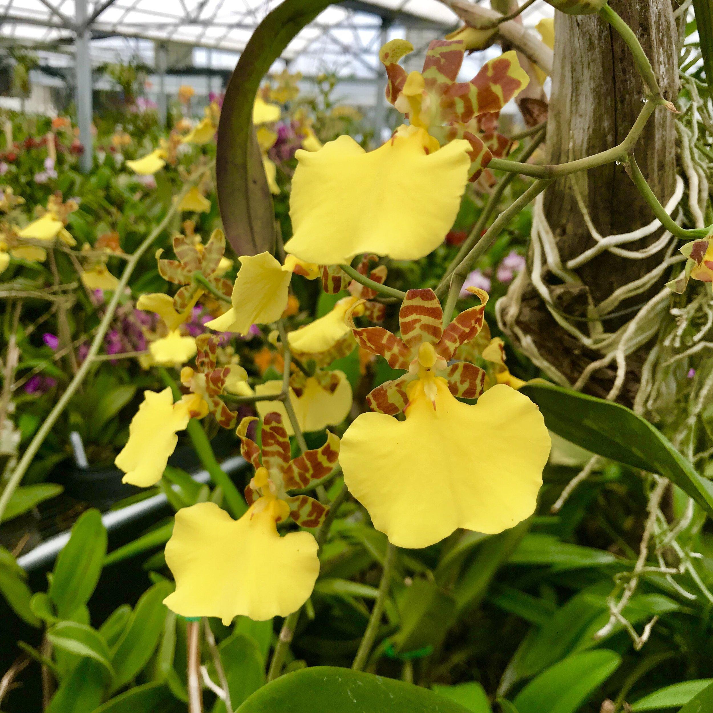 trichocentrum splendidum oncidium orchid species.jpg