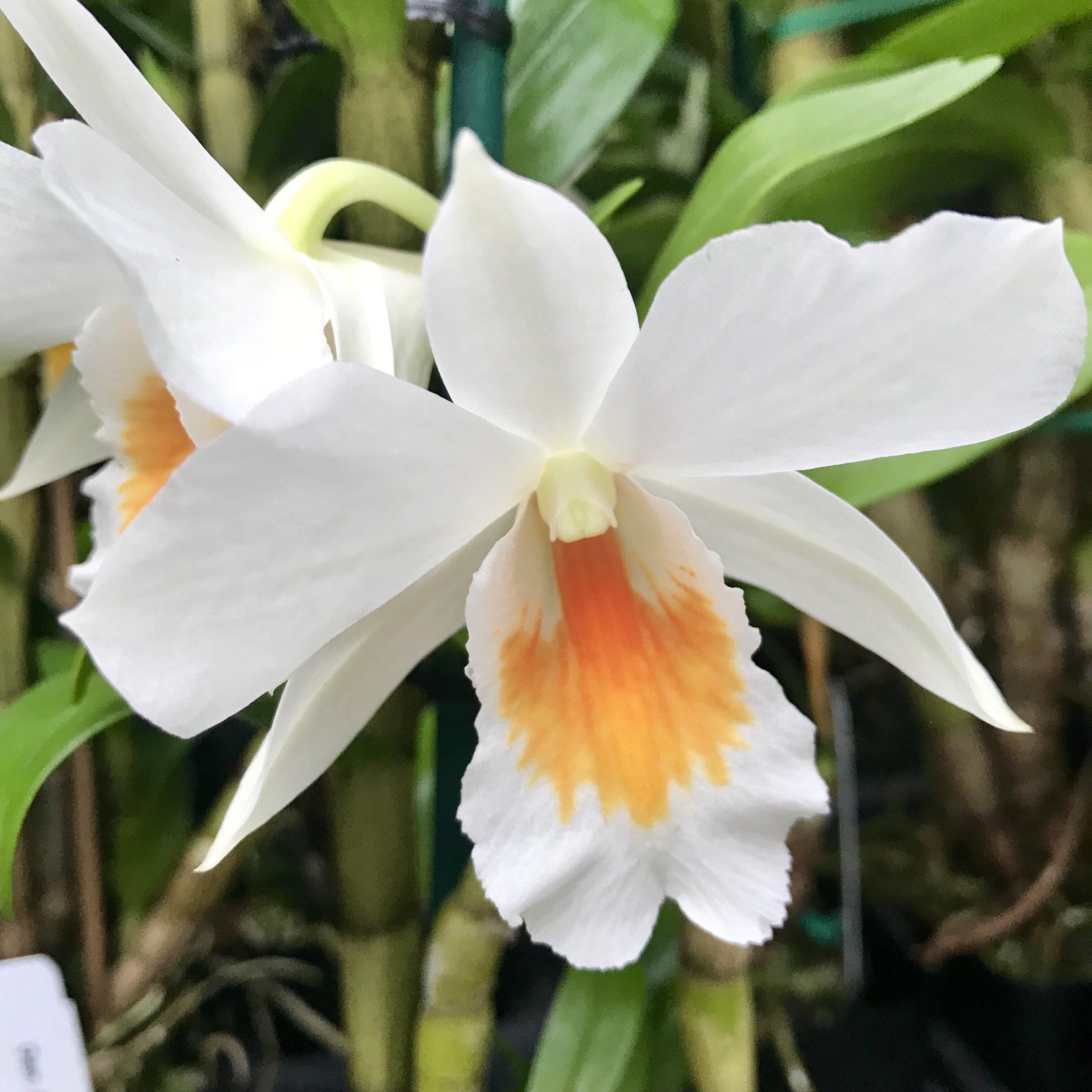 white dendrobium orchid.jpg