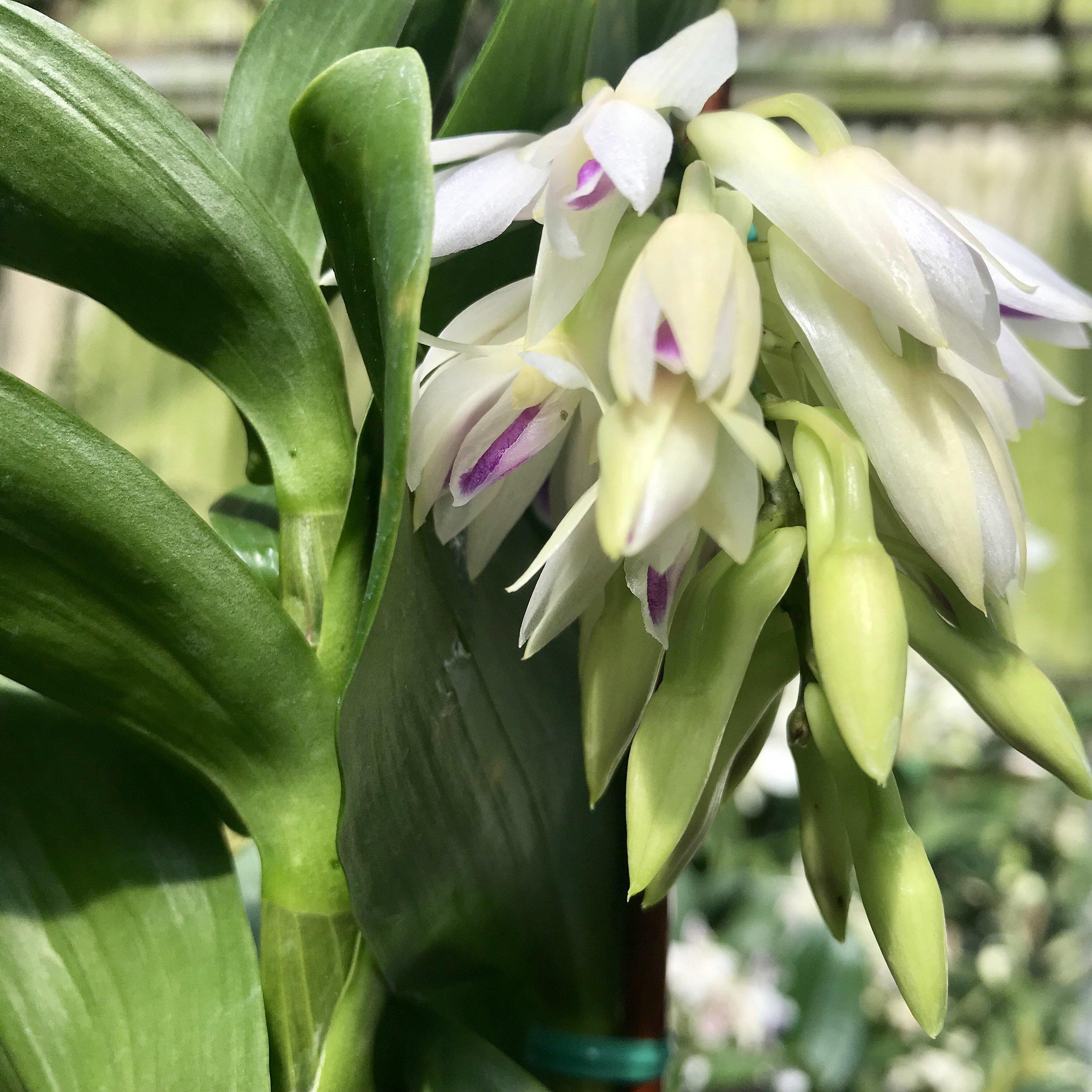 dendrobium amethystoglossum orchid species.jpg