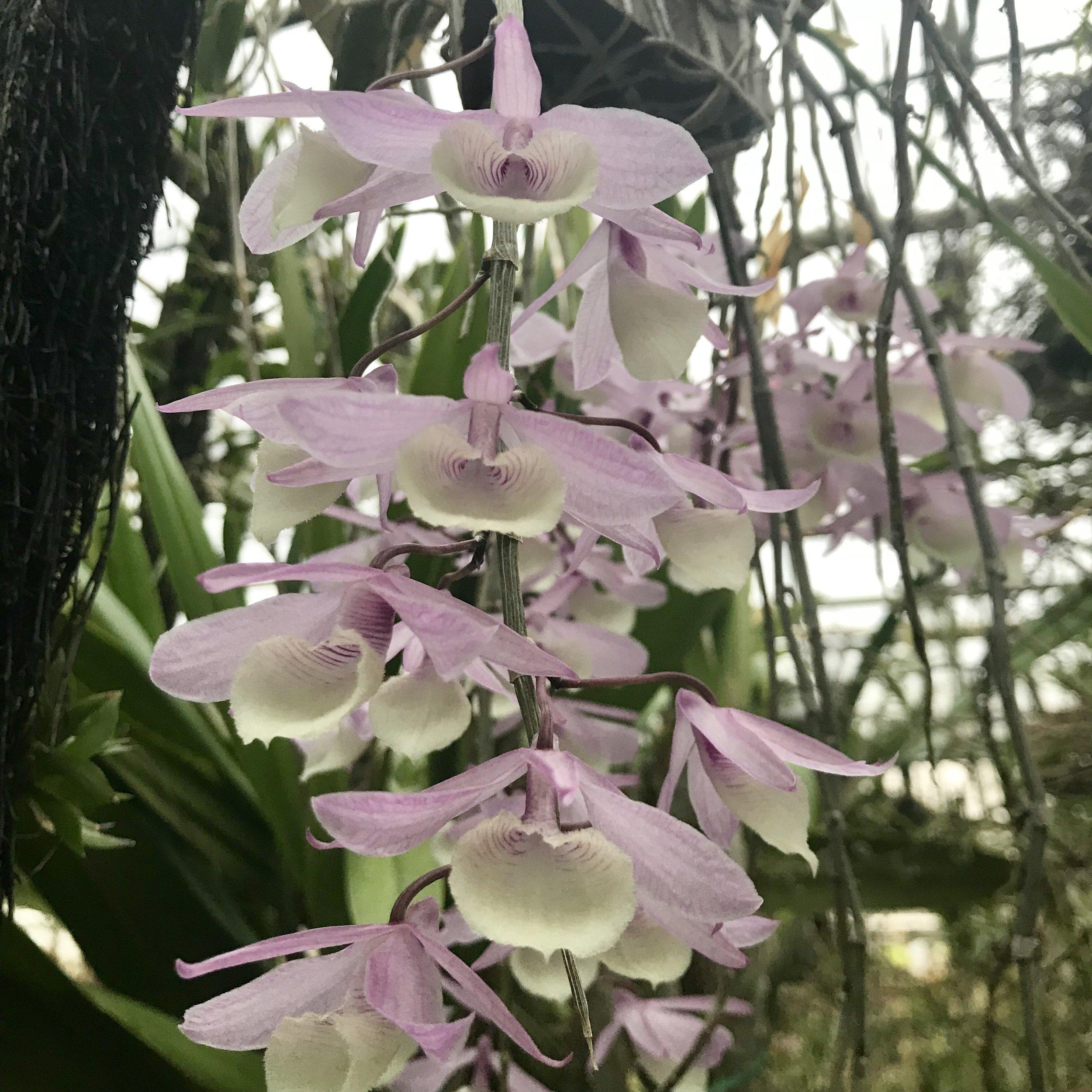 Dendrobium aphyllum pierardii orchid species palmer orchids