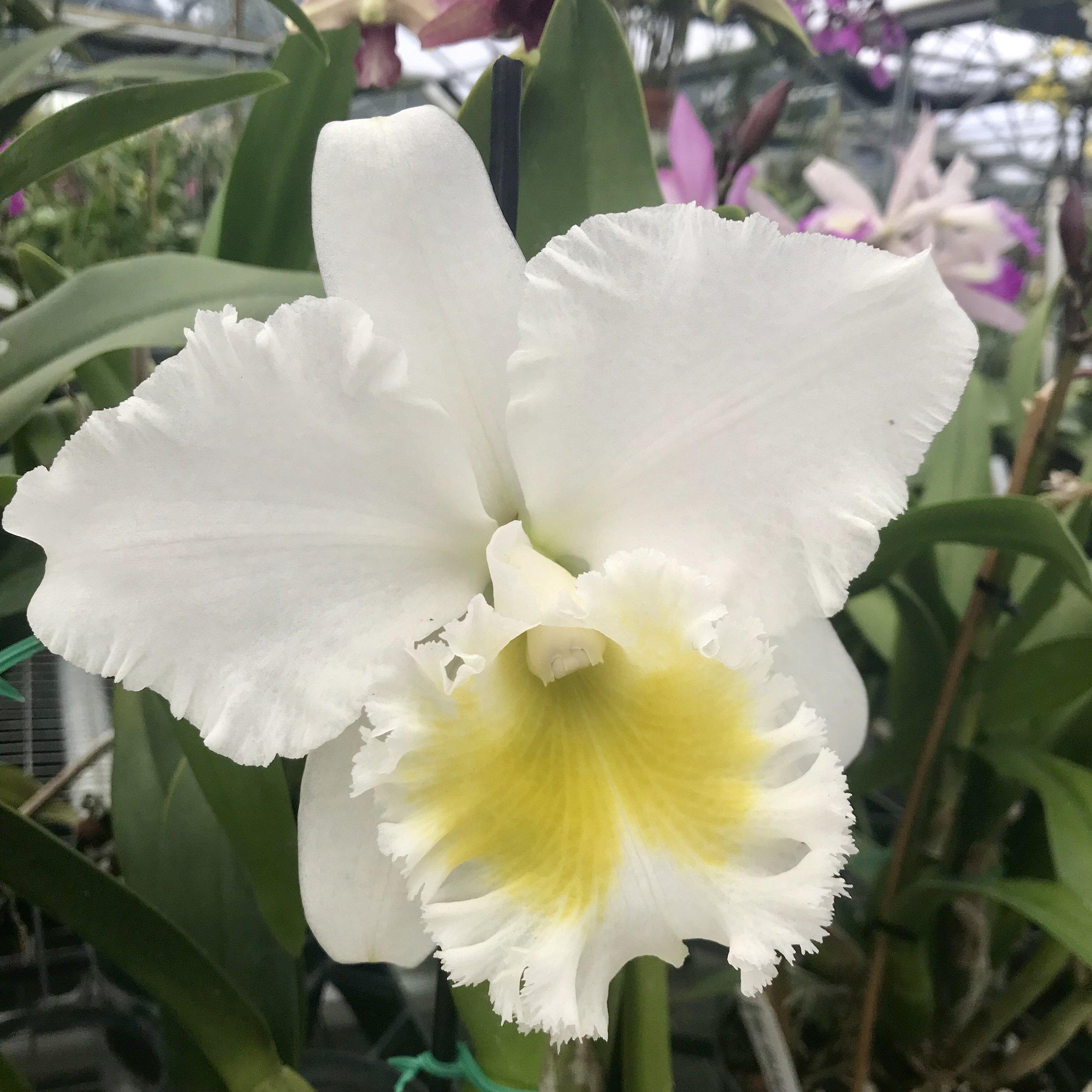 Rlc Blc Burdekin Wonder White Cattleya Palmer Orchids