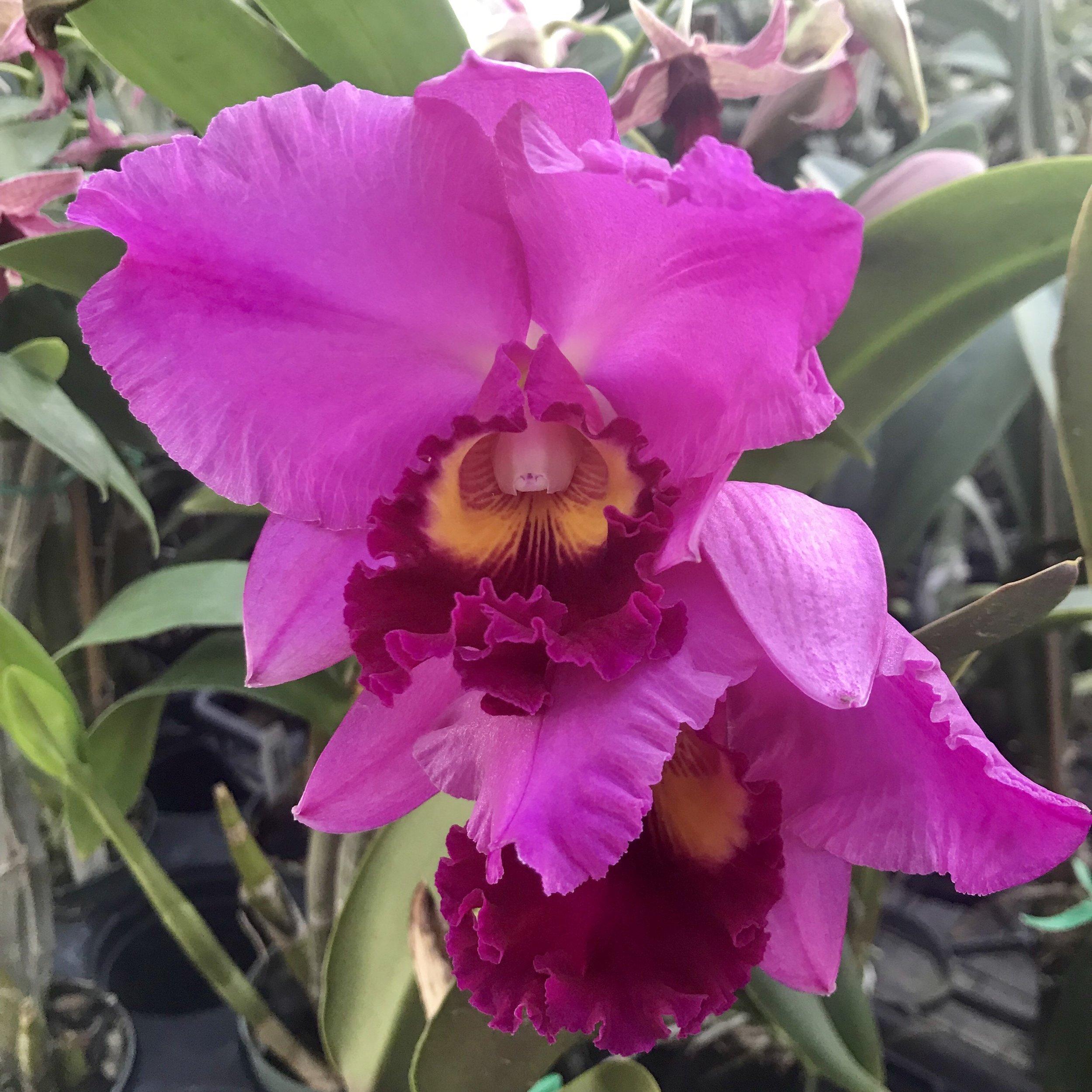 Rlc Perfect Choice Purple Cattleya Palmer Orchids