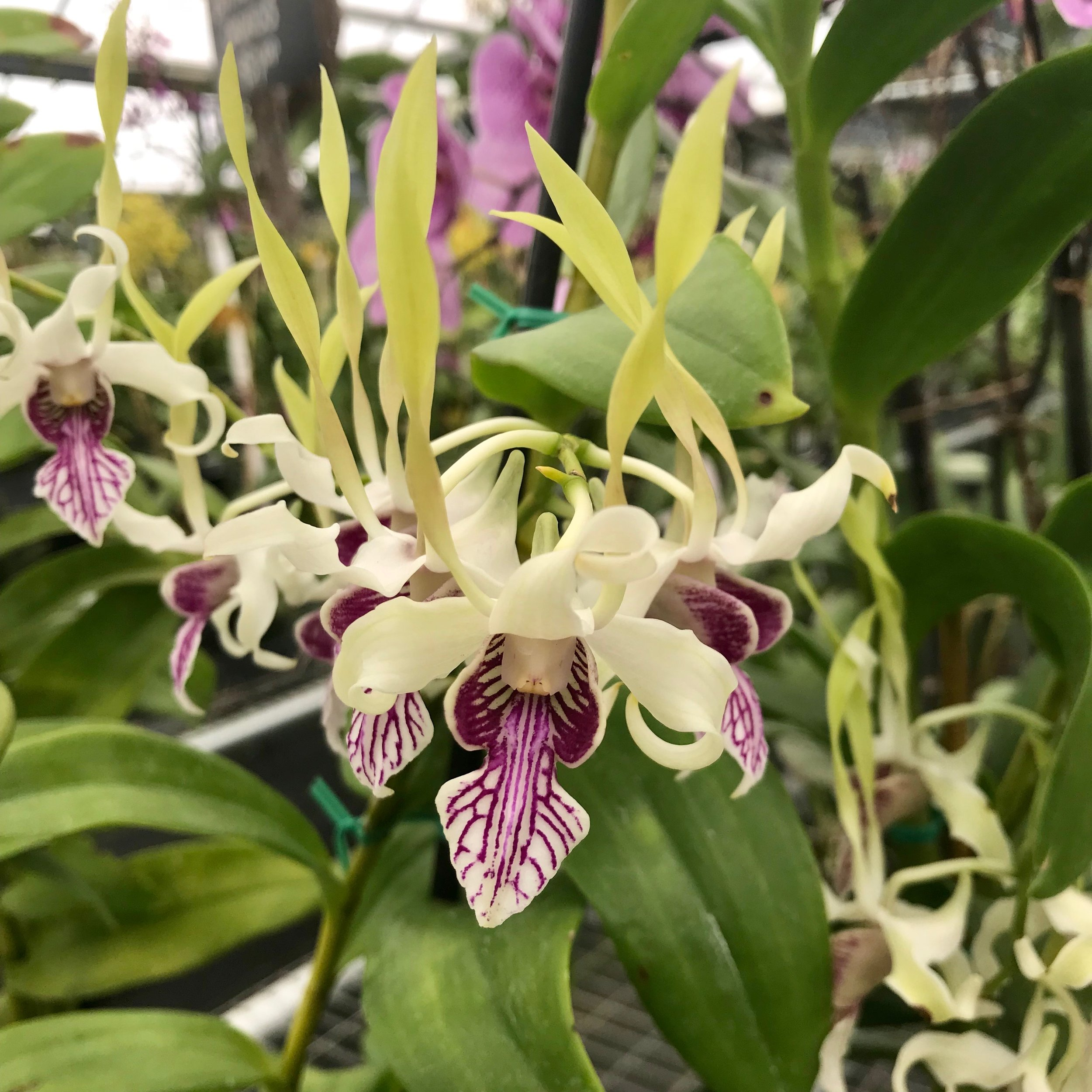 Dendrobium stratiotes orchid species Palmer Orchids