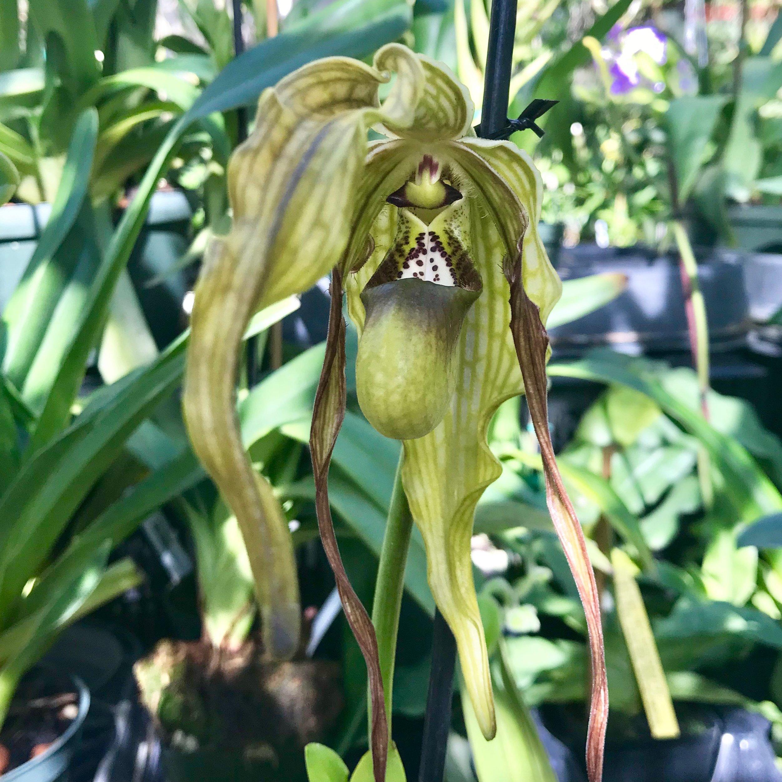 phrag caudatum lady slipper species palmer orchids