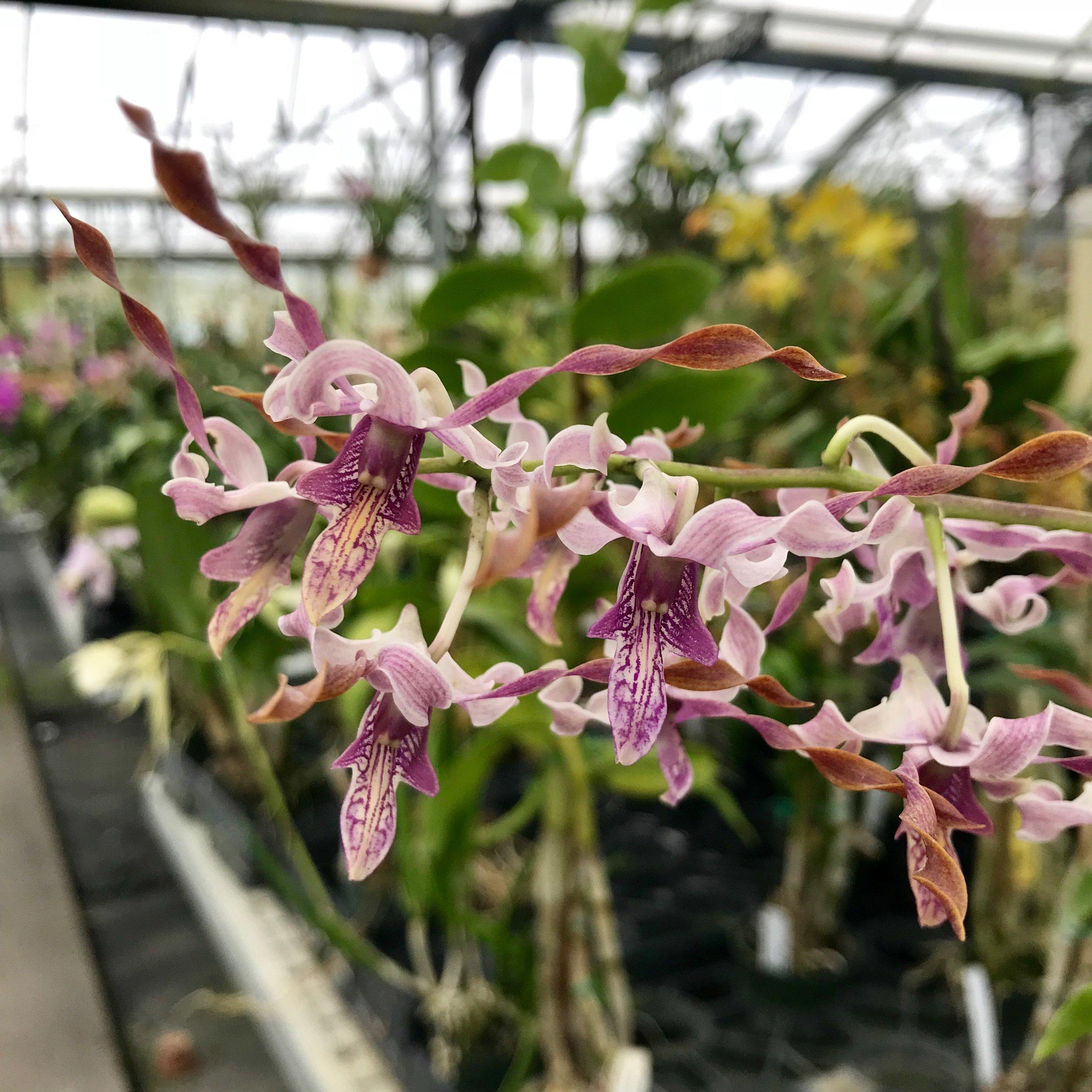 Dendrobium helix x Dendrobium sutiknoi Palmer Orchids