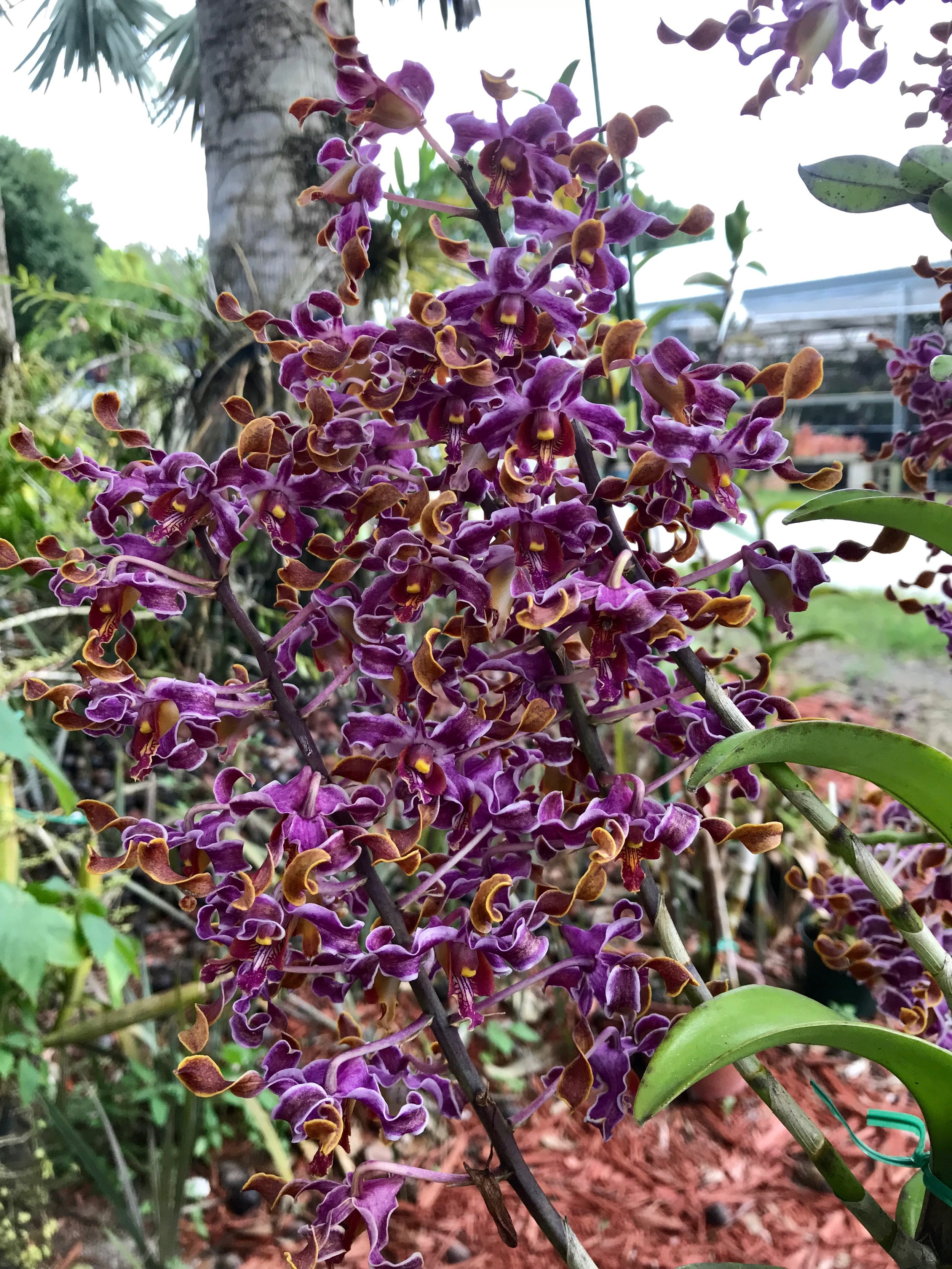 Dendrobium Jairak Spin x helix Palmer Orchids