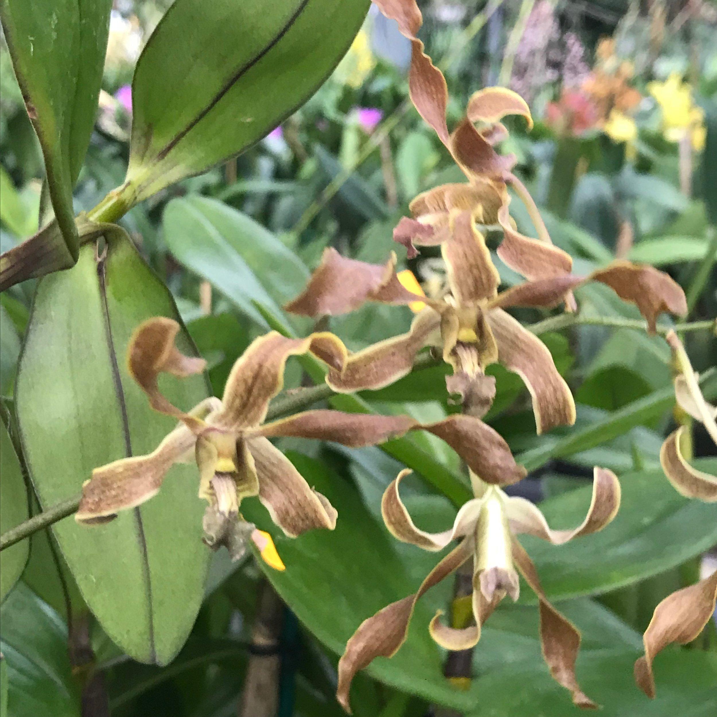 Dendrobium mirbelianum x Dendrobium discolor Palmer Orchids