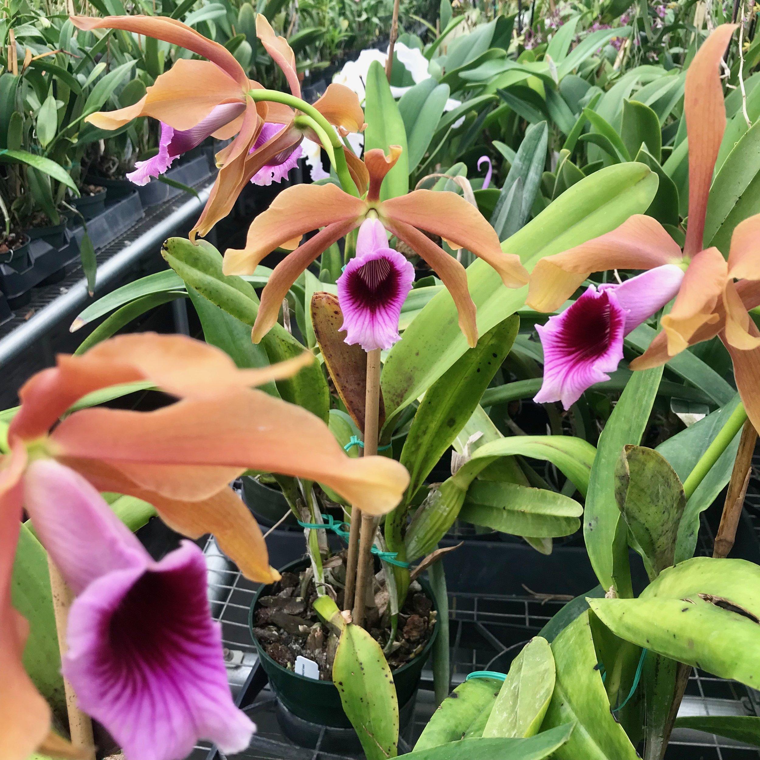 Cattleya tenebrosa Laelia tenebrosa cattleya orchid species palmer orchids