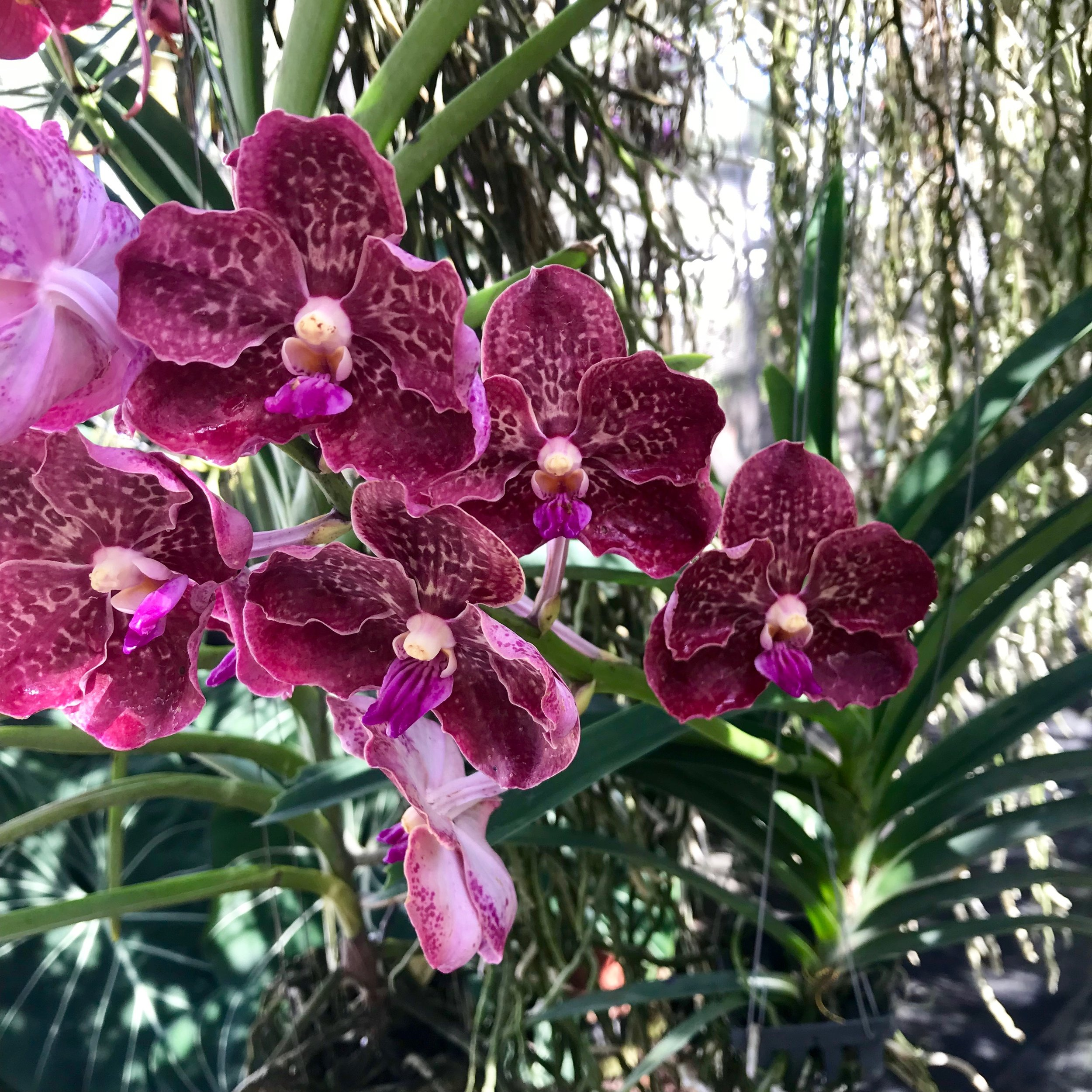Papilionanda Corneels Cilliers (Papilionanda Mimi Palmer x Vanda Doctor Anek) Palmer Orchids