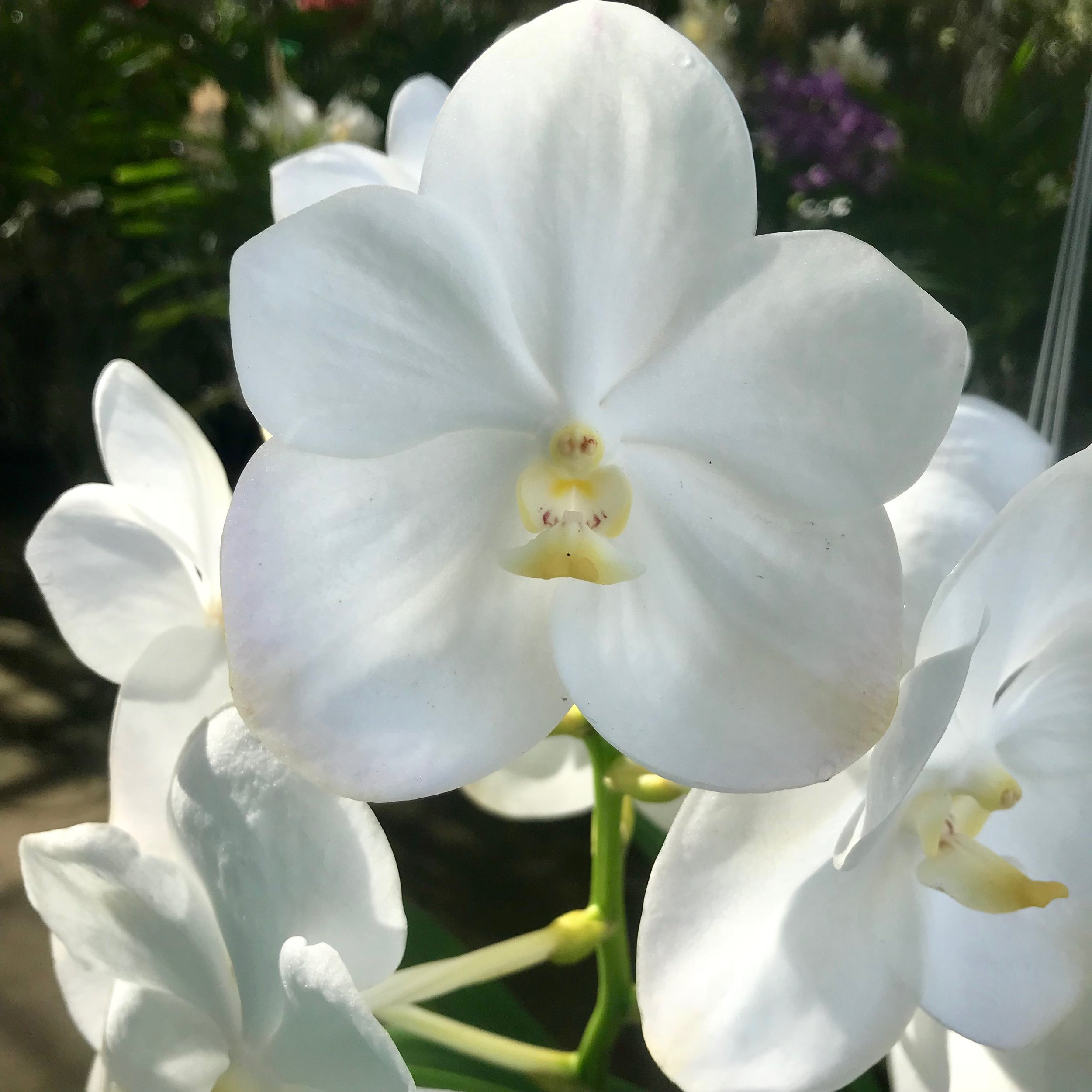 Vanda Nopporn White Diamond White Vanda Palmer Orchids