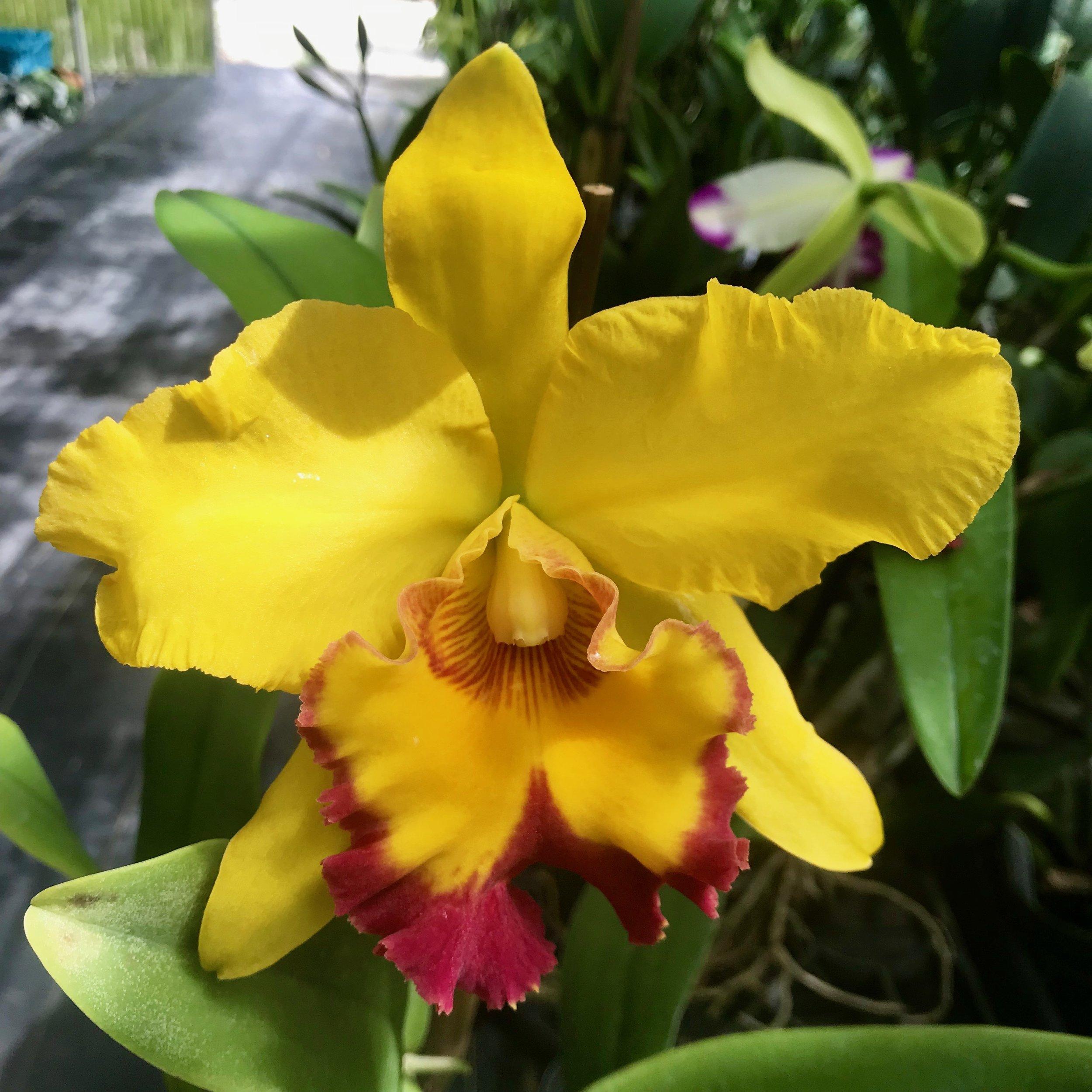 Rlc. Shinfong Gold Gem Cattleya Orchids Palmer Orchids
