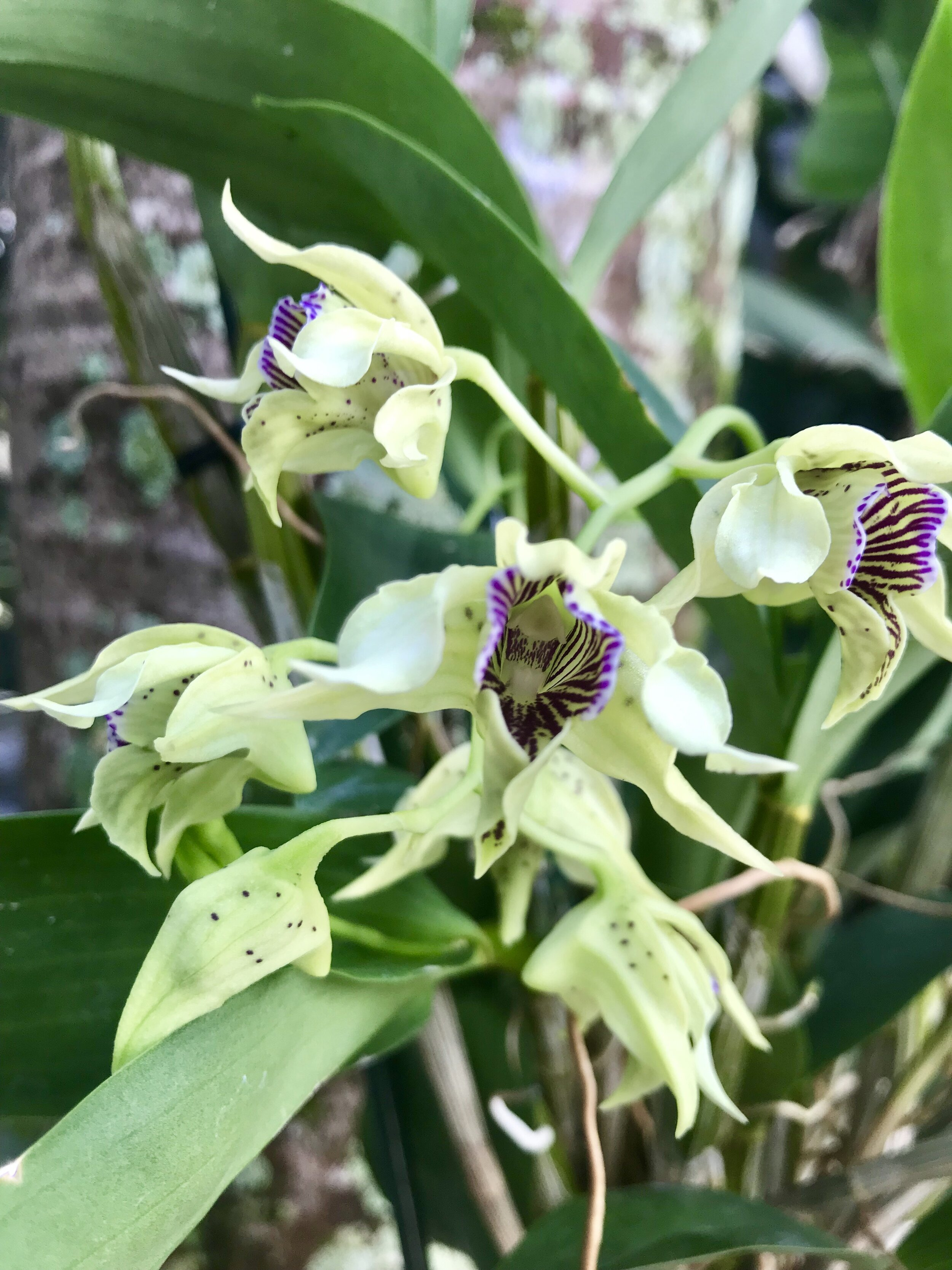 Dendrobium QF Kainoa Palmer Orchids
