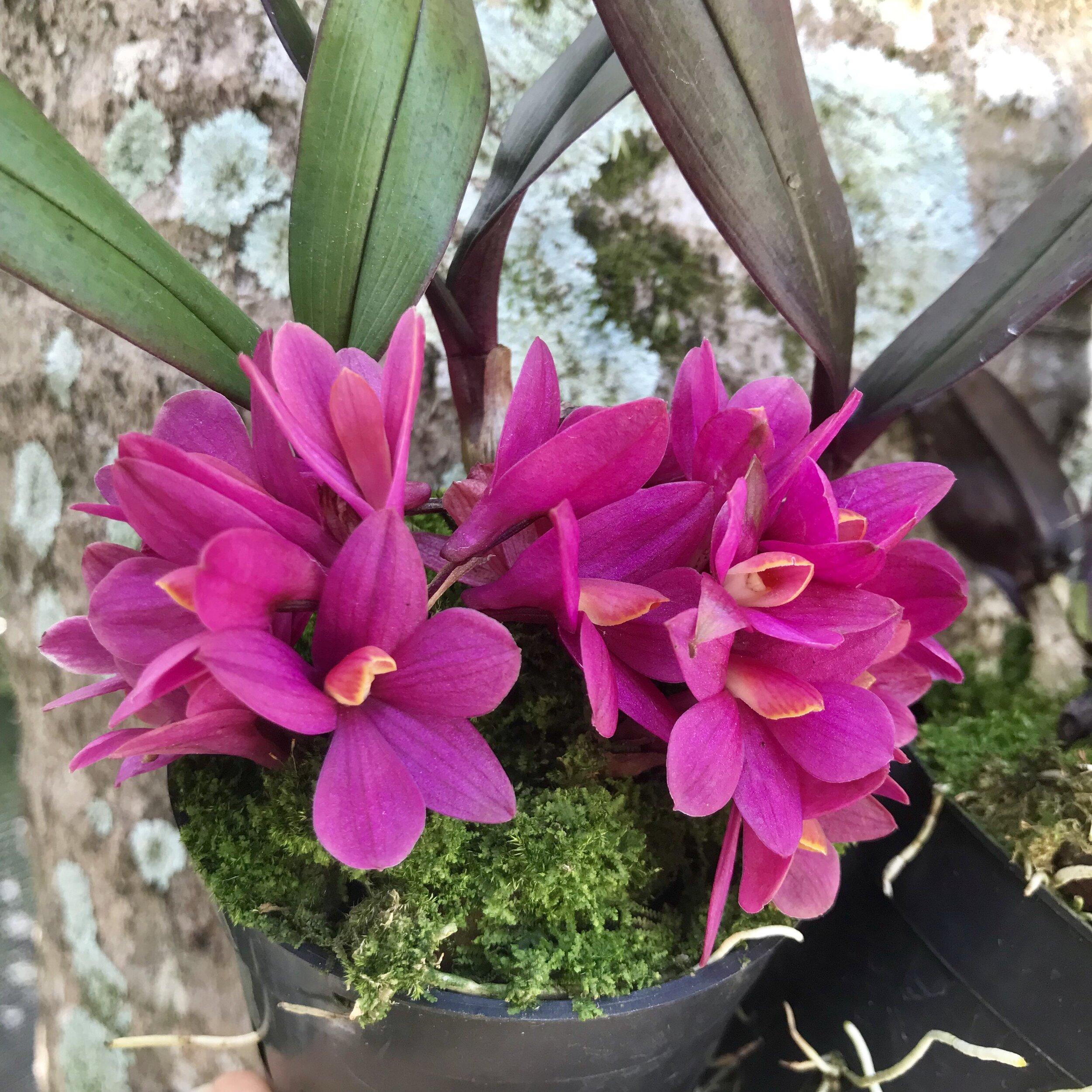 Dendrobium laevifolium Palmer Orchids