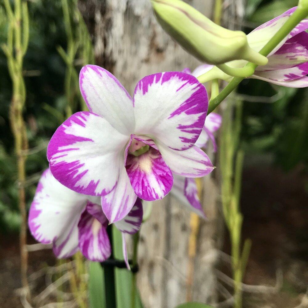spiking Enobi /'Splash/'  Blooming Size Plant Den in 3 inch pot