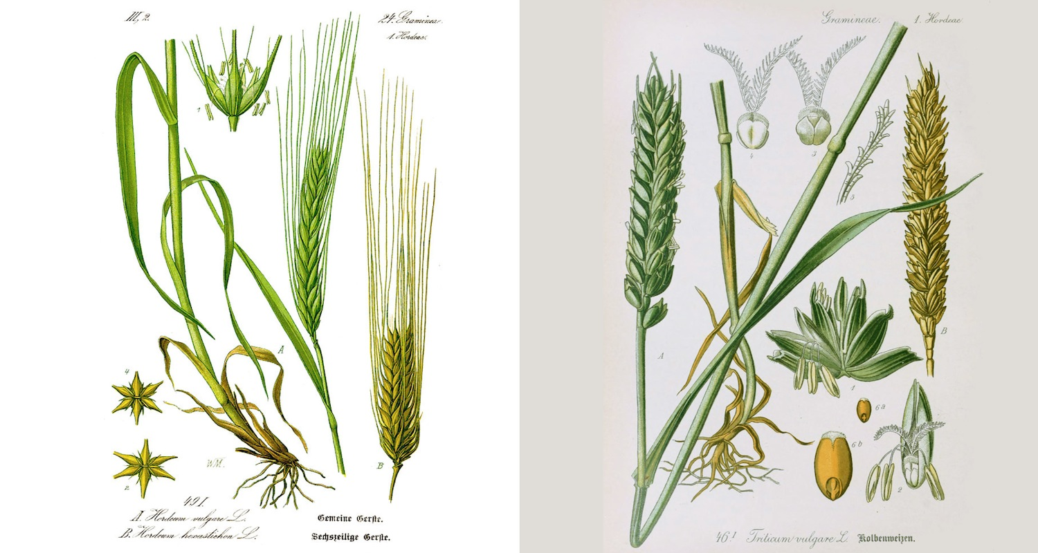 Barley identification of left, image from  here . Wheat, on right. Image from  here .