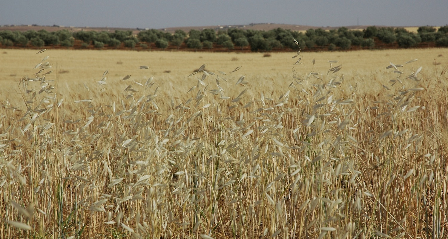 Cereals in central Jordan. This is ancient Moabite territory.